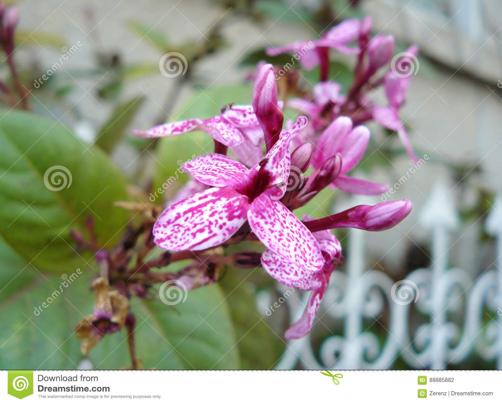 粉红紫色镶边花