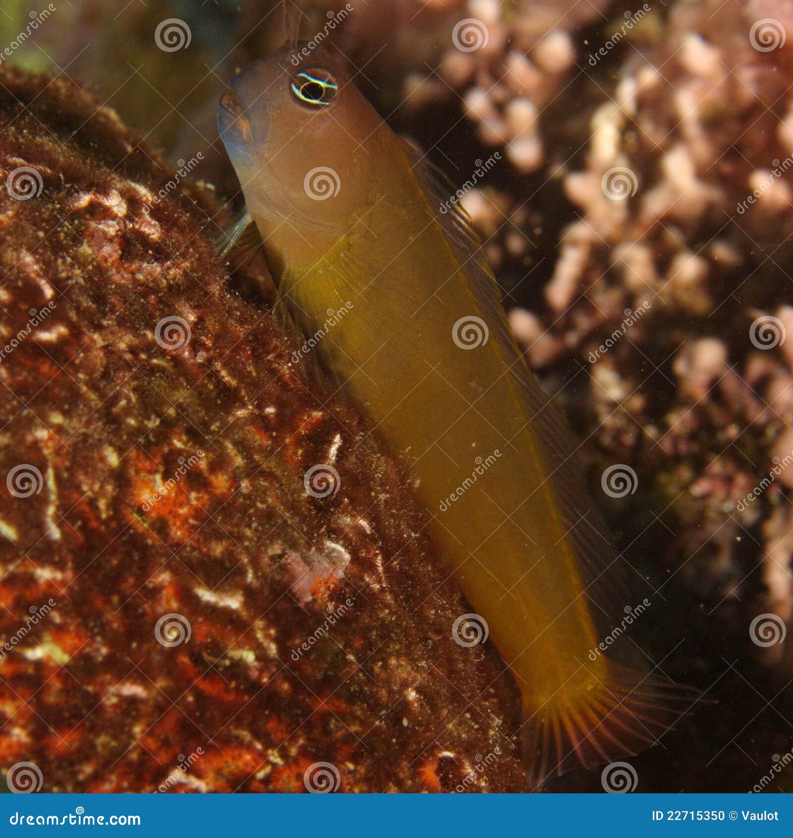 粘鱼(Ecsenius frontalis)