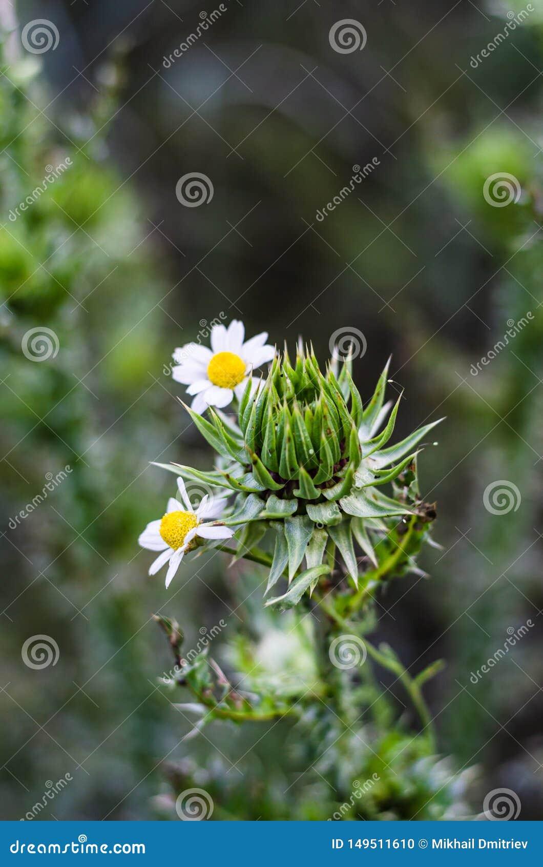 精美雏菊围拢的多刺的蓟 多刺的柔软