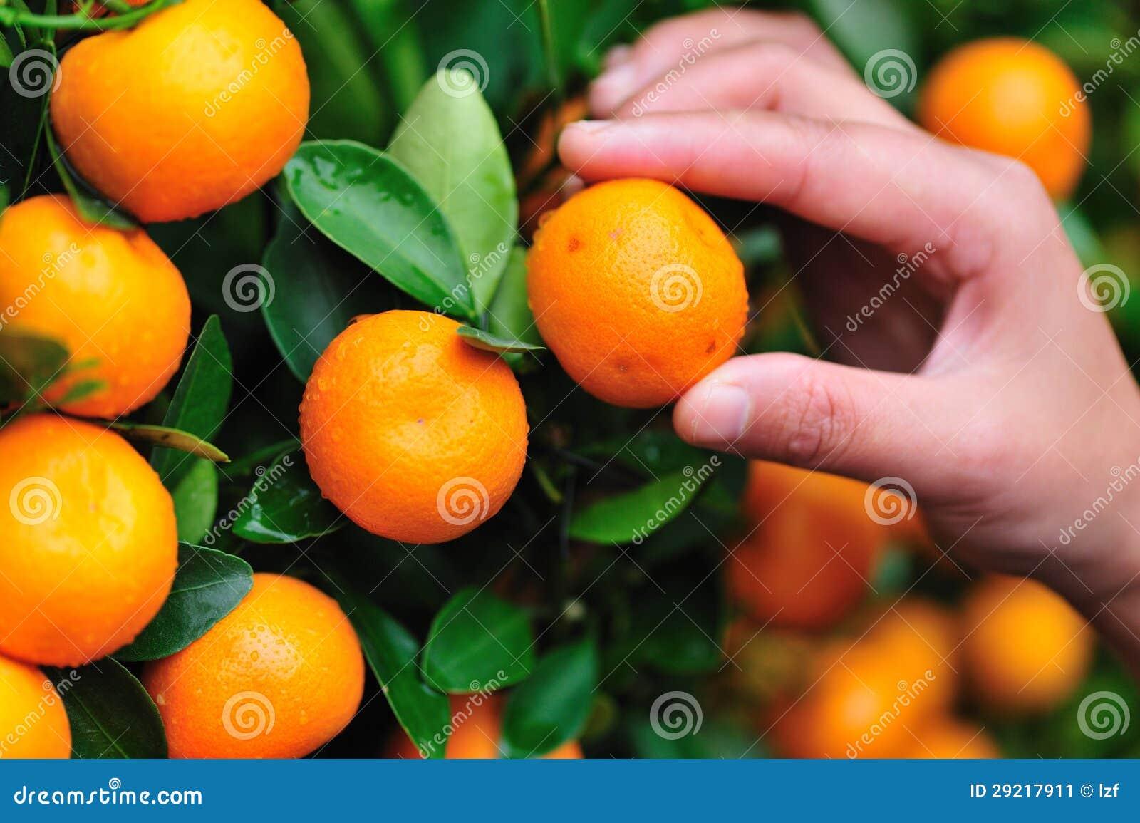 精选在结构树的桔子图片