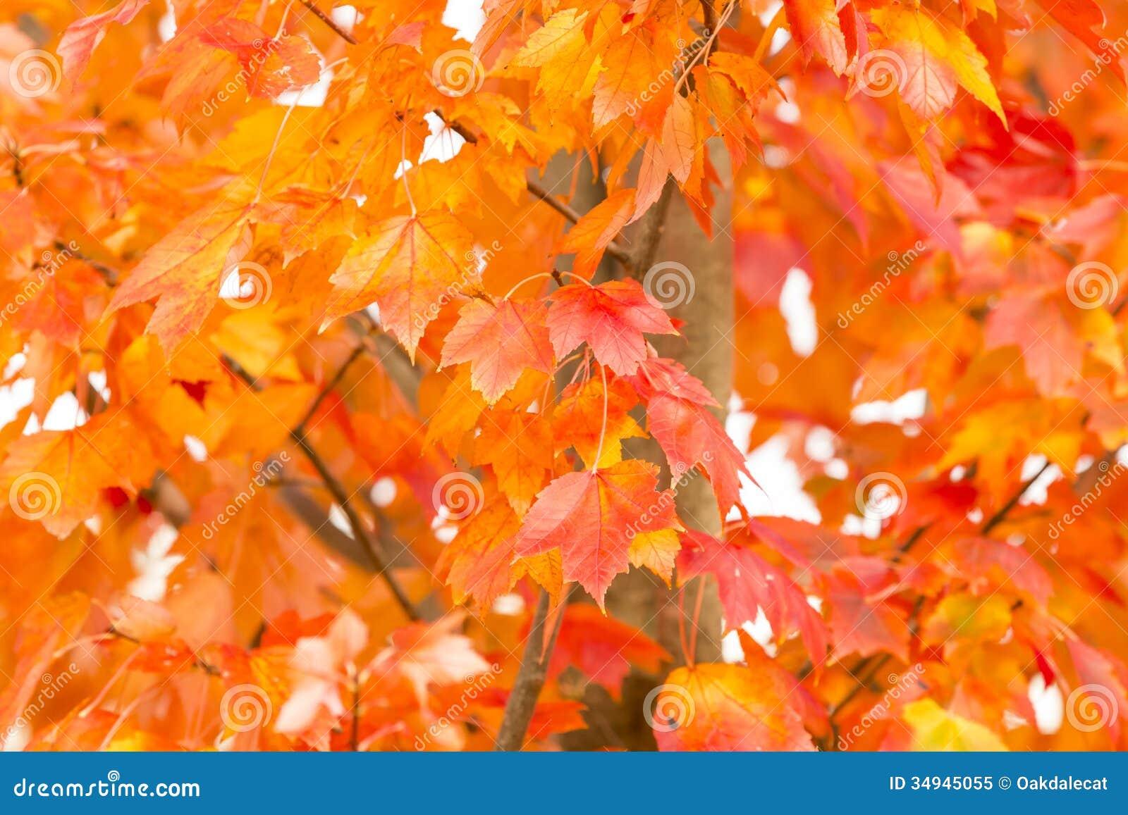 精采橙色秋天叶子