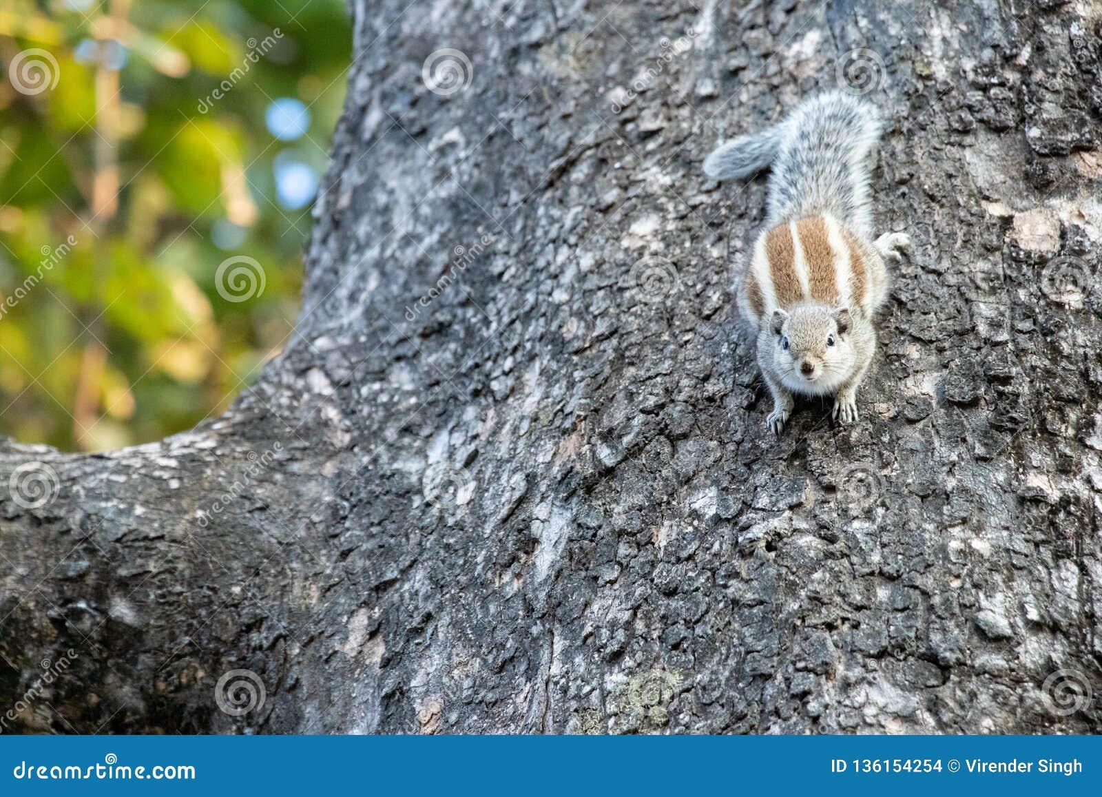 紧贴对树的加利灰鼠
