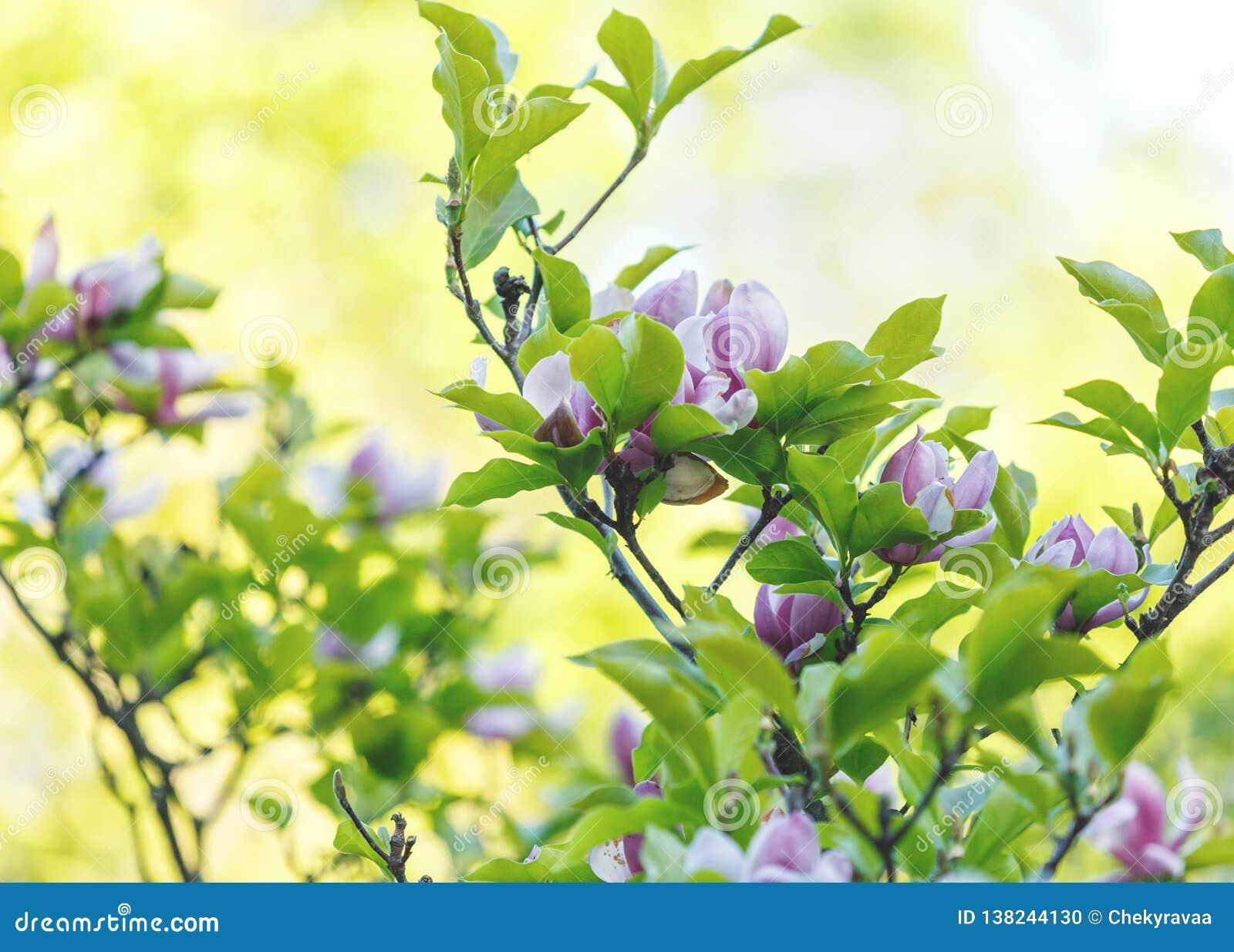 紫罗兰色桃红色木兰花 令人惊讶的桃红色木兰背景美好的开花的木兰分支在春天 桃红色盛开木兰花