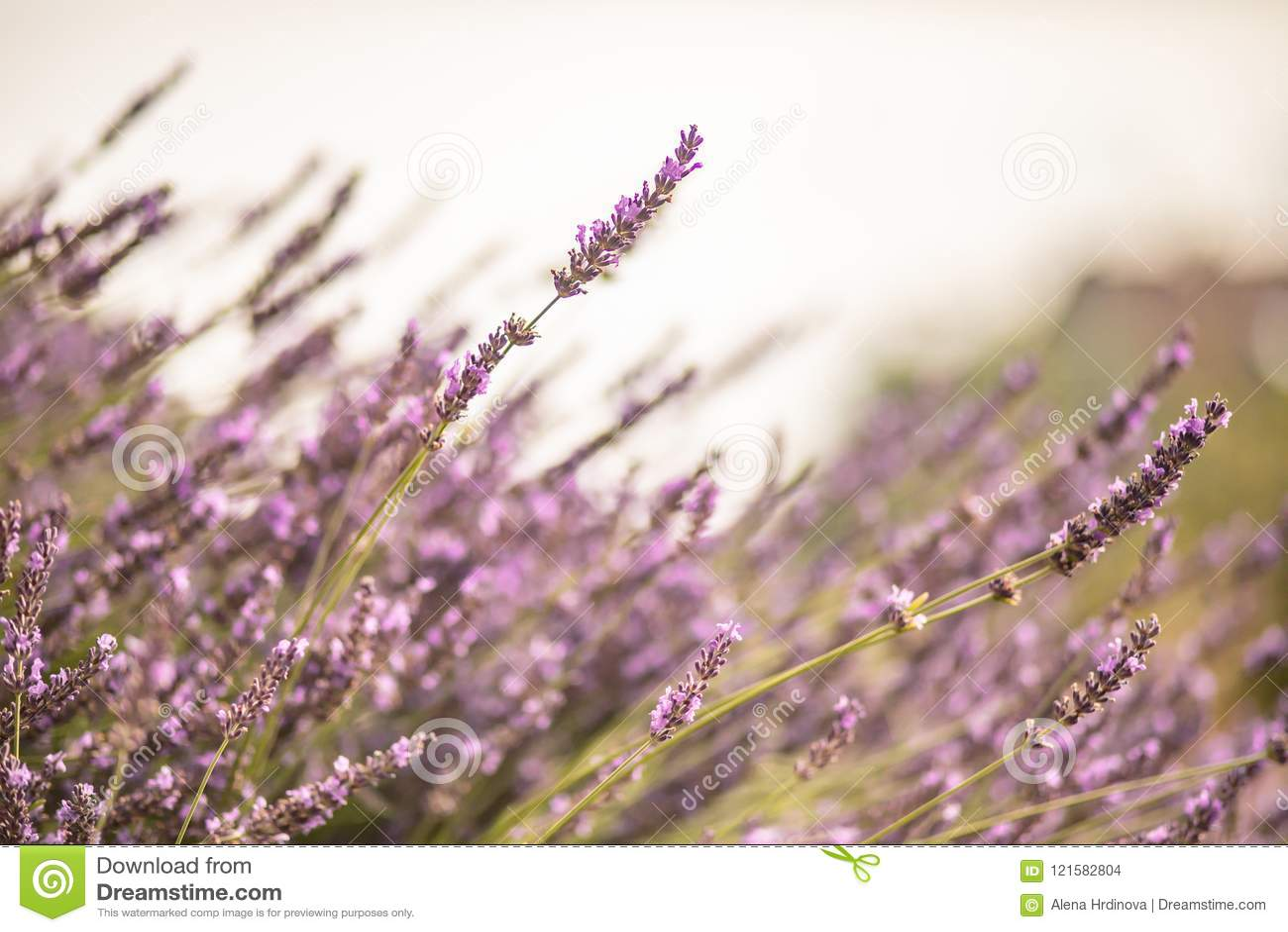 紫罗兰色淡紫色在绽放开花有被弄脏的背景