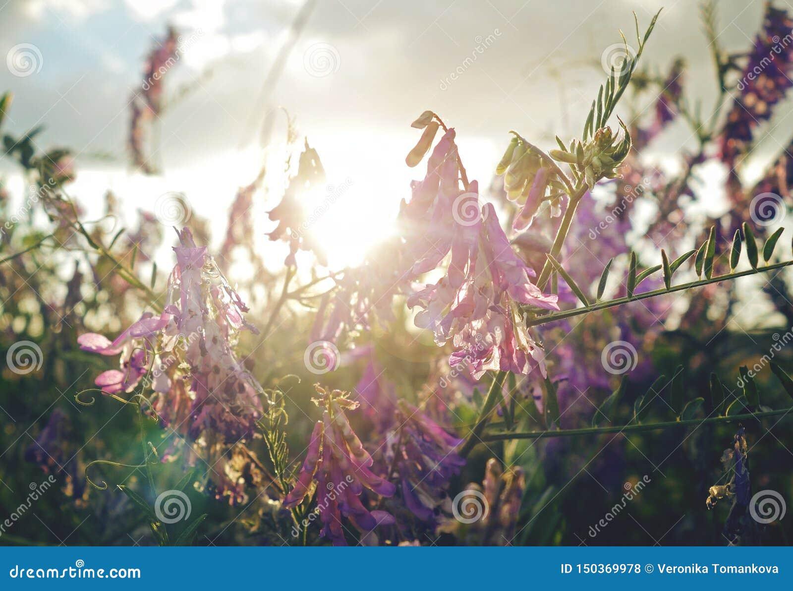 紫罗兰色花在金黄小时