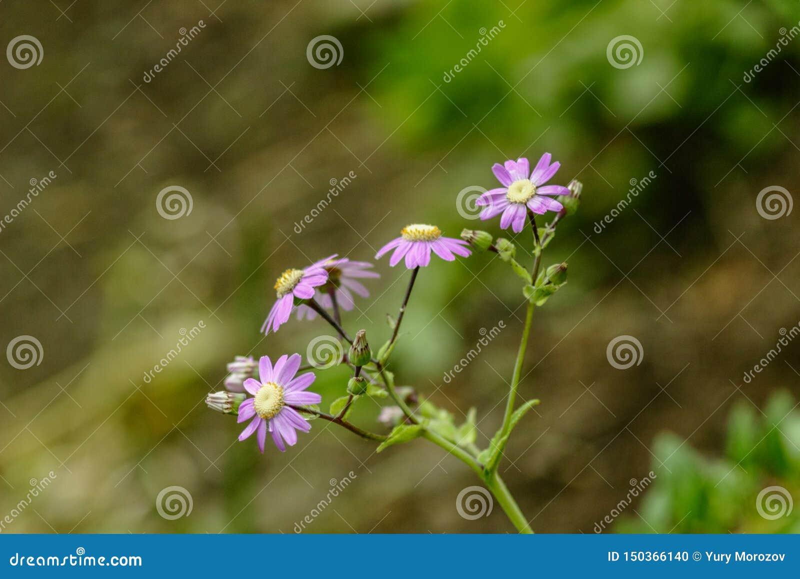 紫罗兰色花非洲雏菊有绿色事假背景 野生特内里费岛植物 E