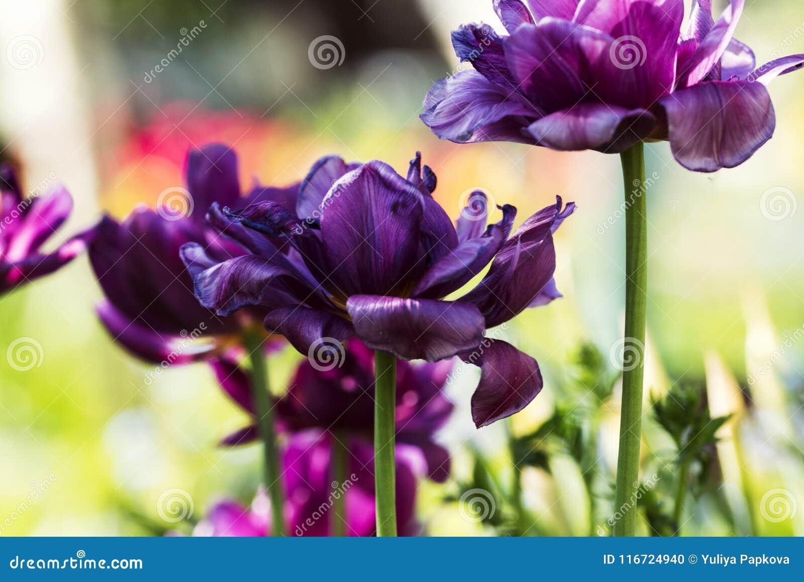 紫罗兰色郁金香在晴天