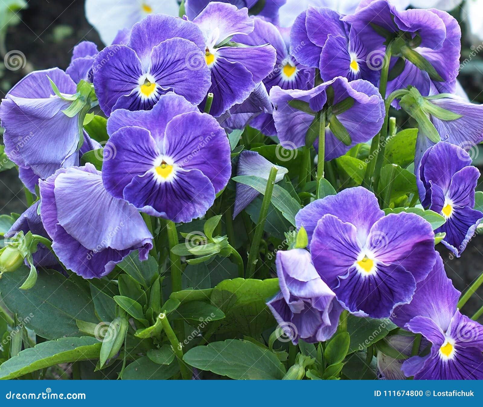 紫色中提琴或蝴蝶花在绽放