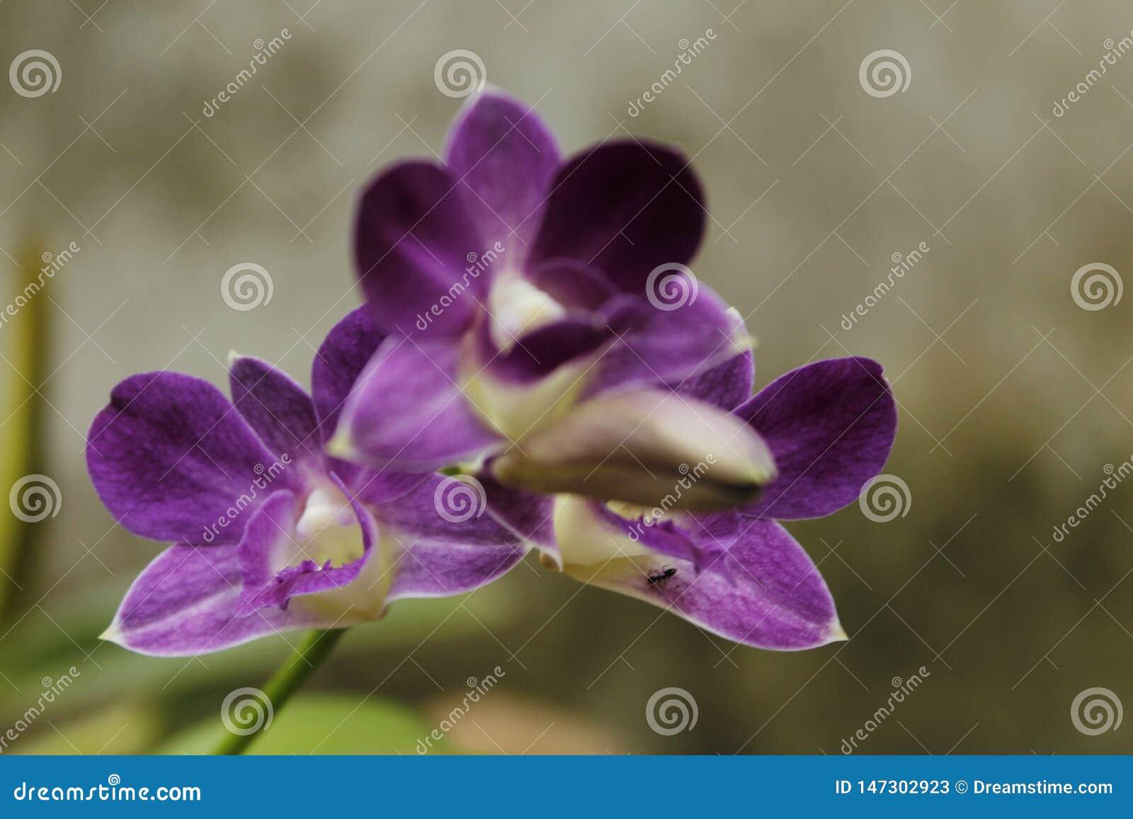 紫色兰花在斯里兰卡