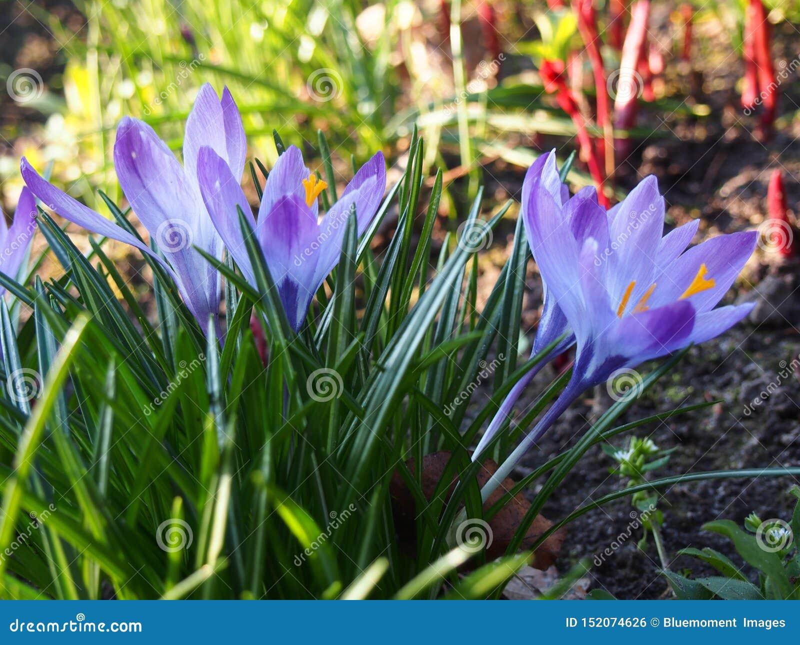 紫色和白色番红花,3月,什切青