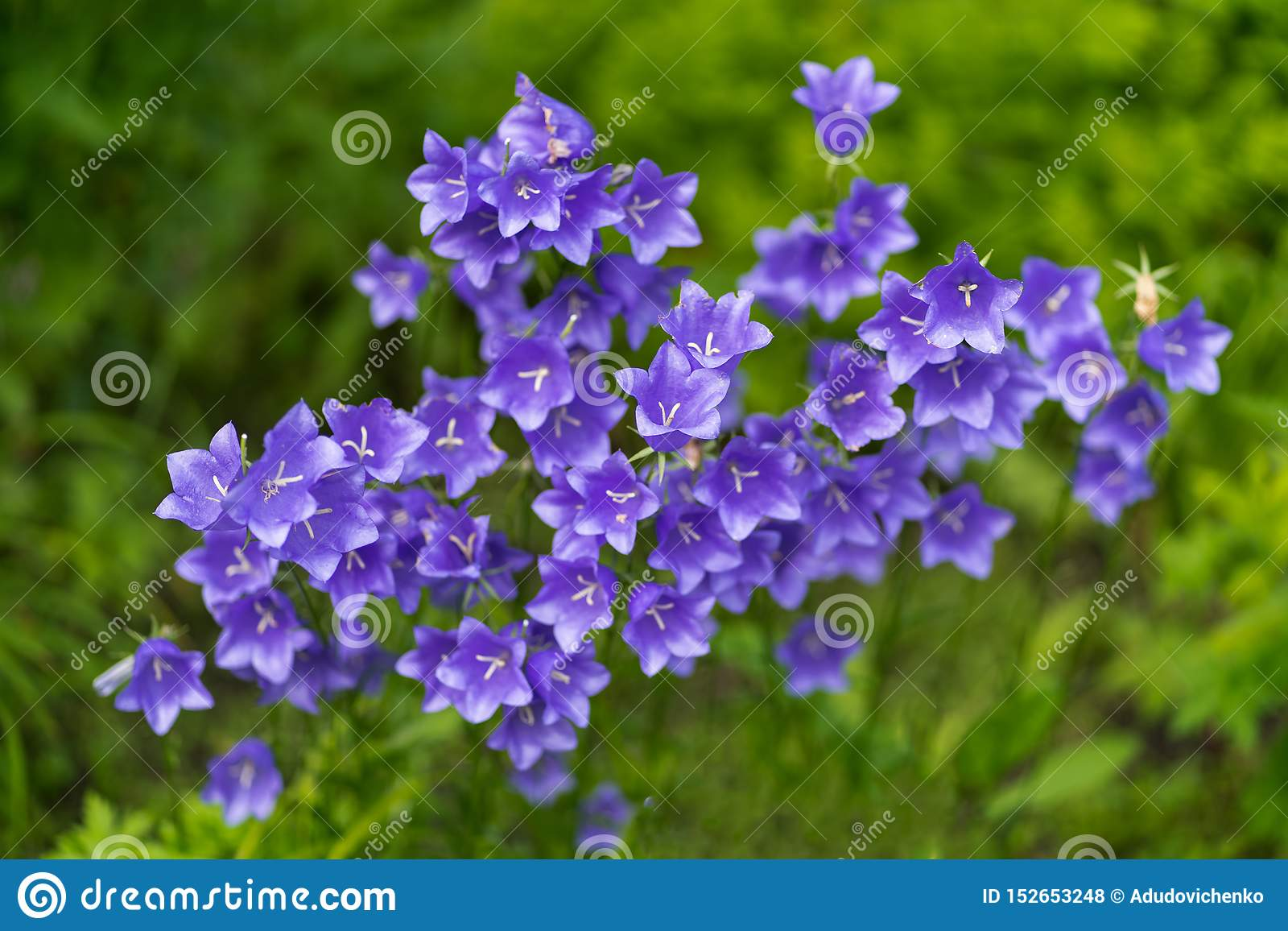 紫色响铃照片在软的宏观焦点