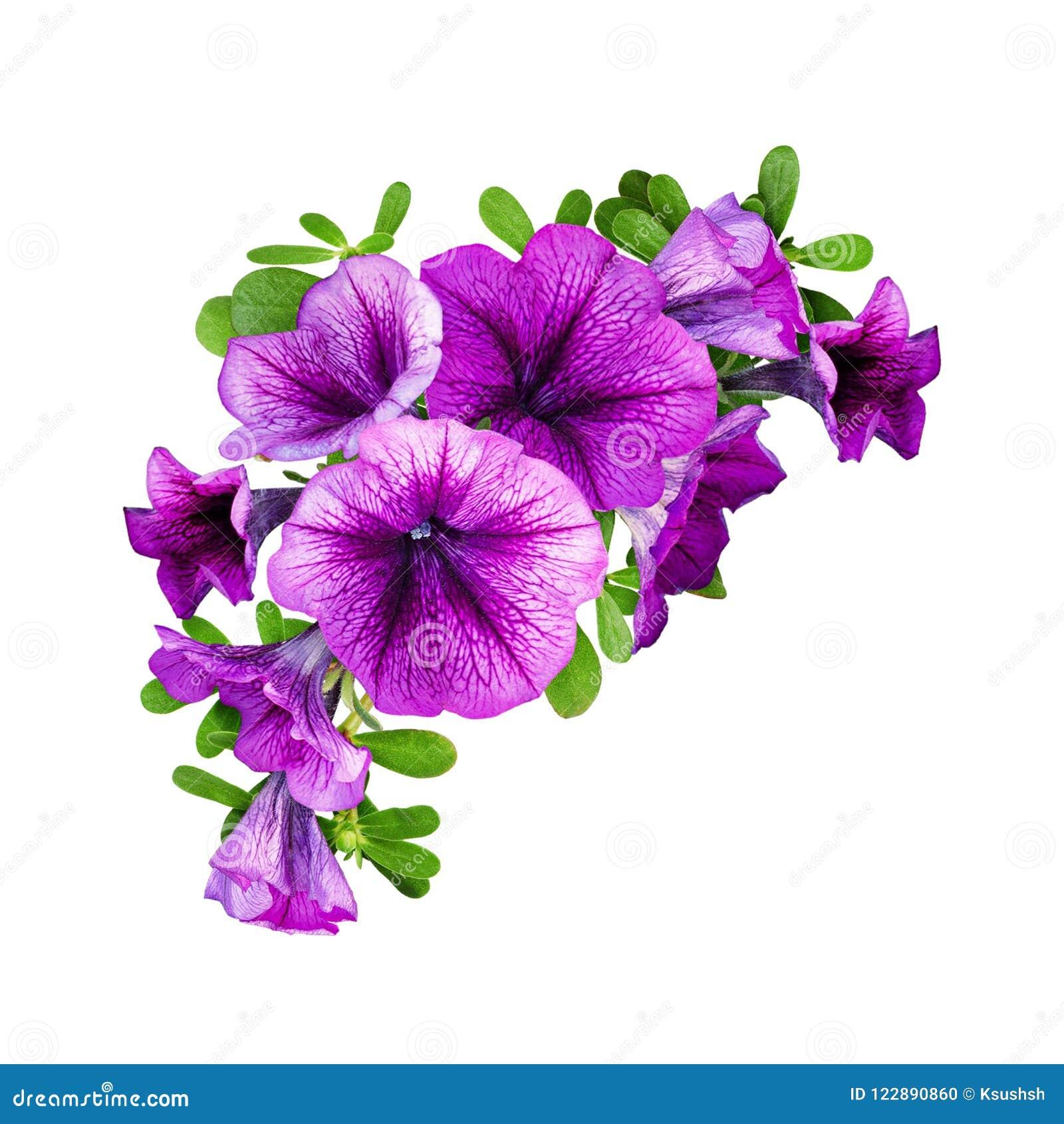 紫色喇叭花在花卉壁角构成开花