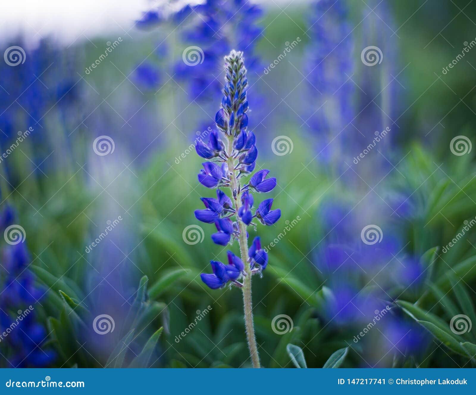 紫色拉克斯珀野花