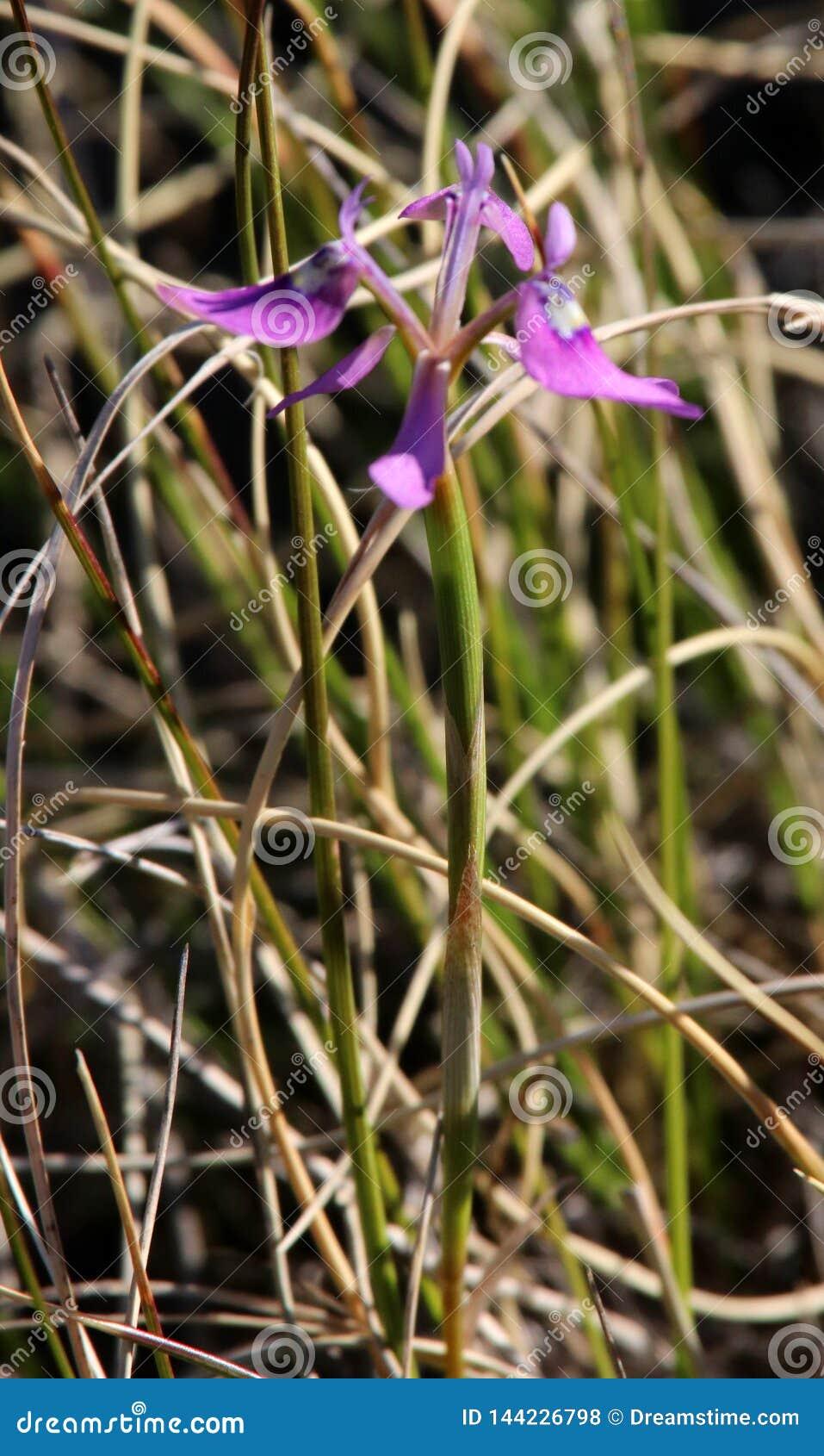 紫色狂放的虹膜花特写镜头与绿色叶子的在背景中
