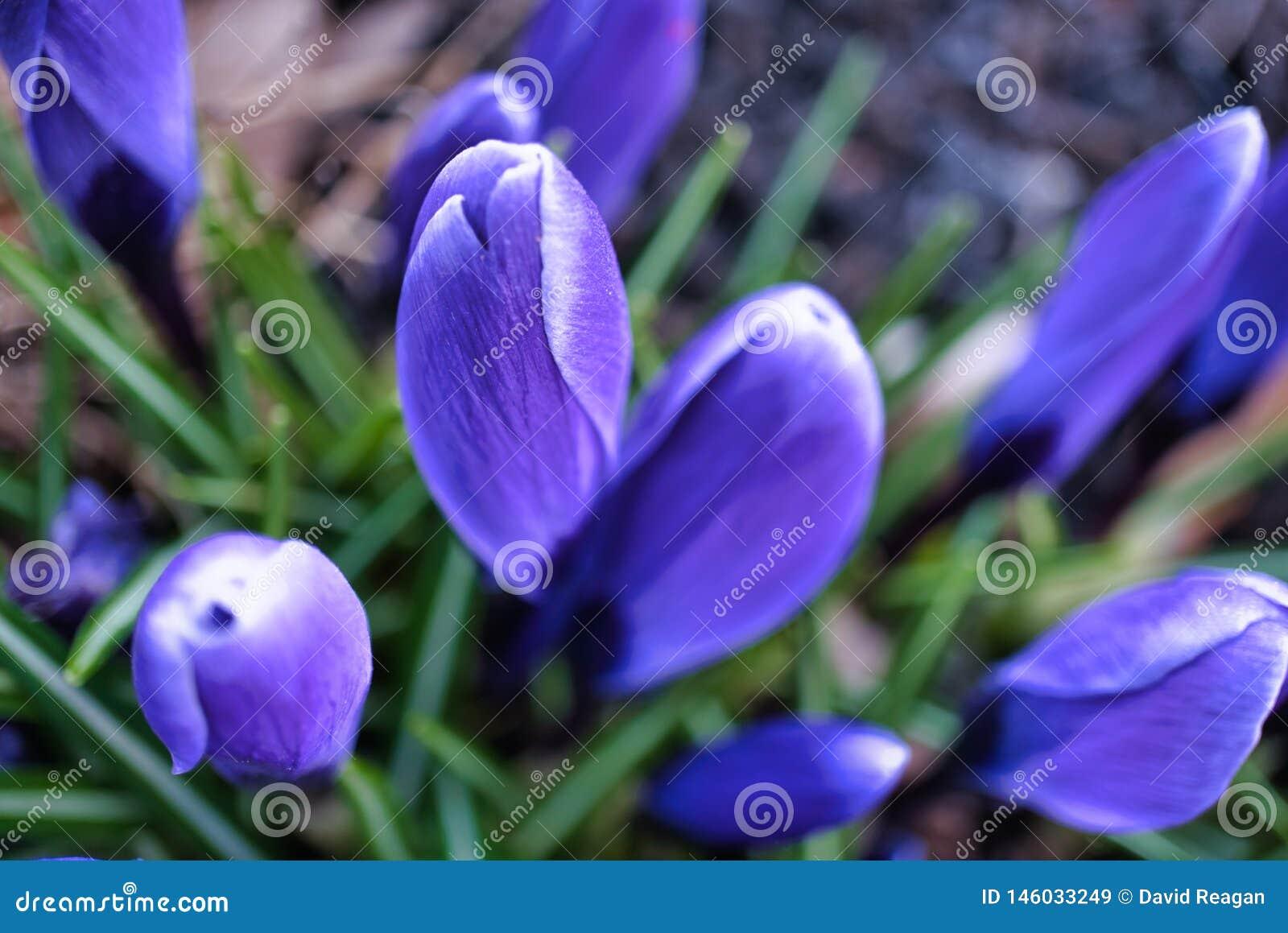 紫色番红花等待太阳的一套