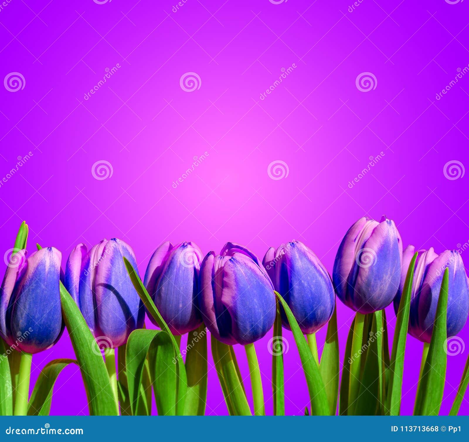 紫色紫罗兰色郁金香开花构成春天假日贺卡