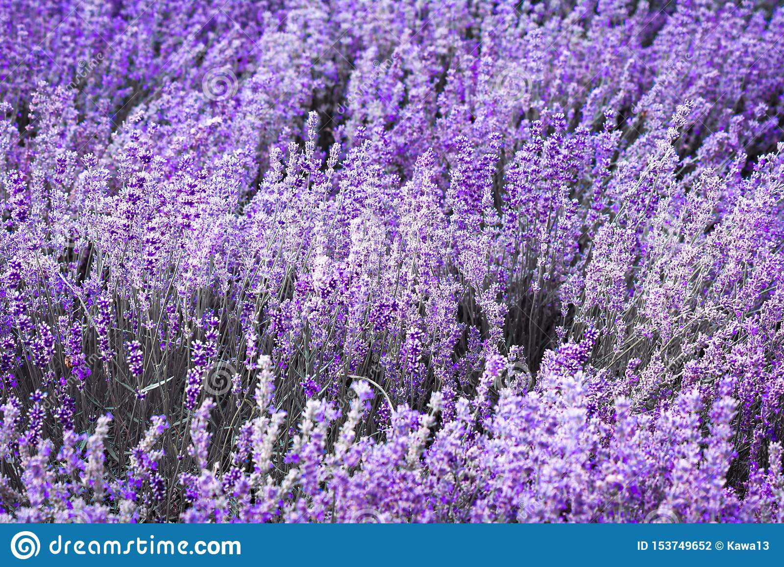 紫色紫罗兰色颜色淡紫色花