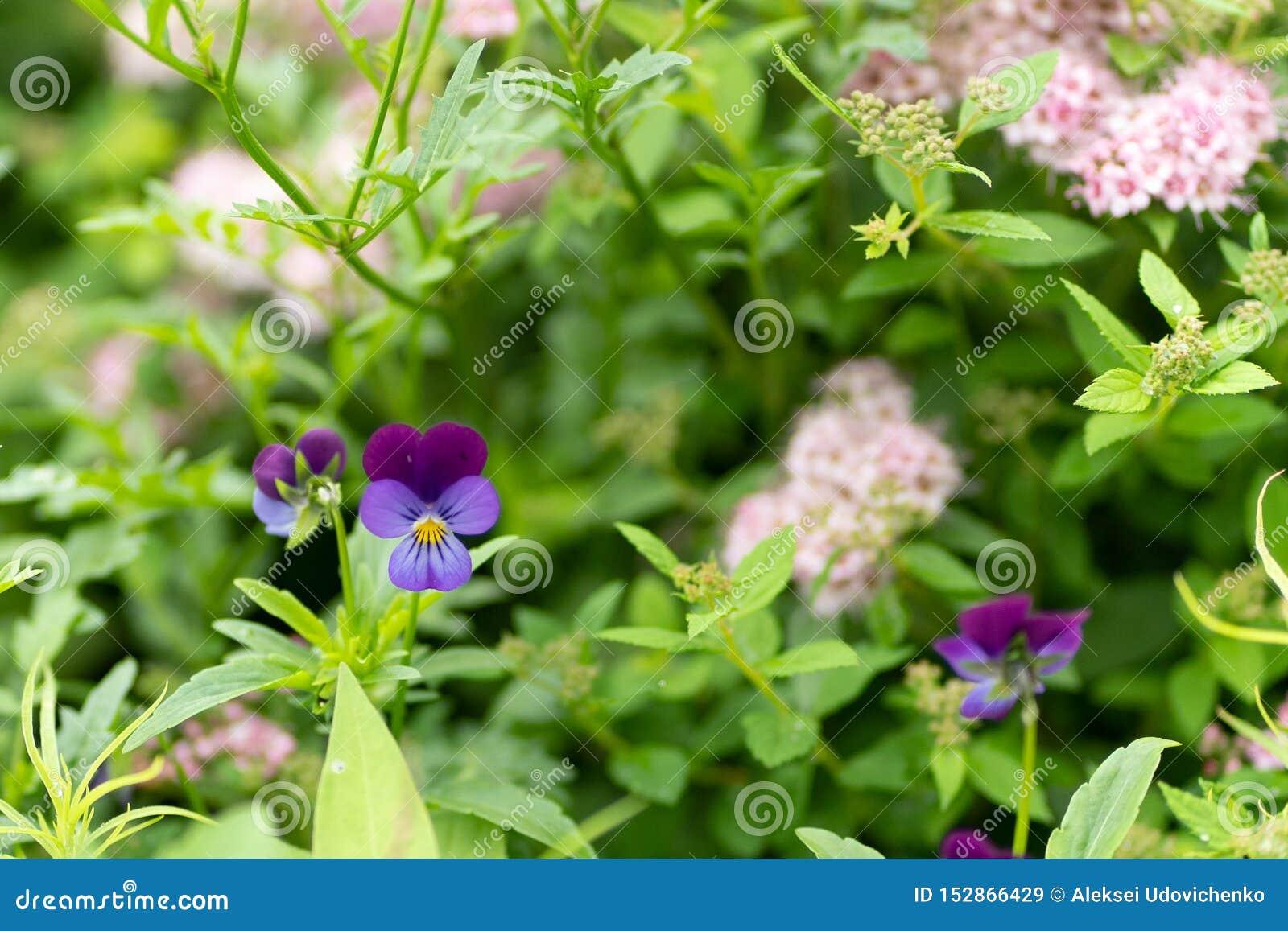 紫色花照片反对叶子背景的