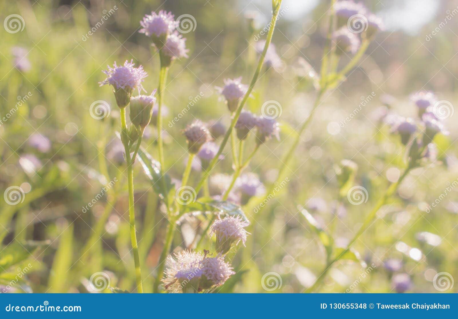 紫色草花特写镜头在草甸,自然背景