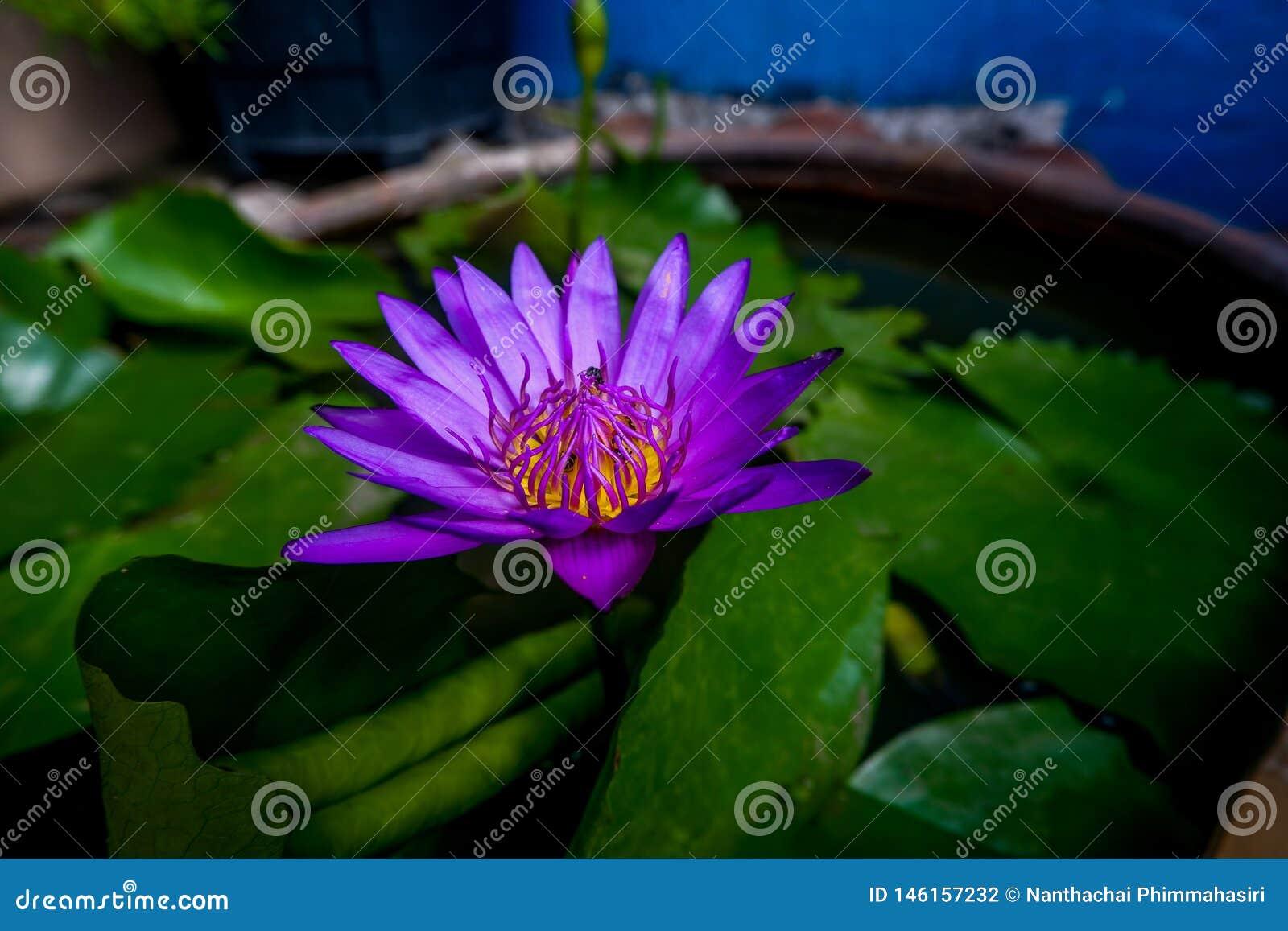 紫色莲花有蜂在莲花