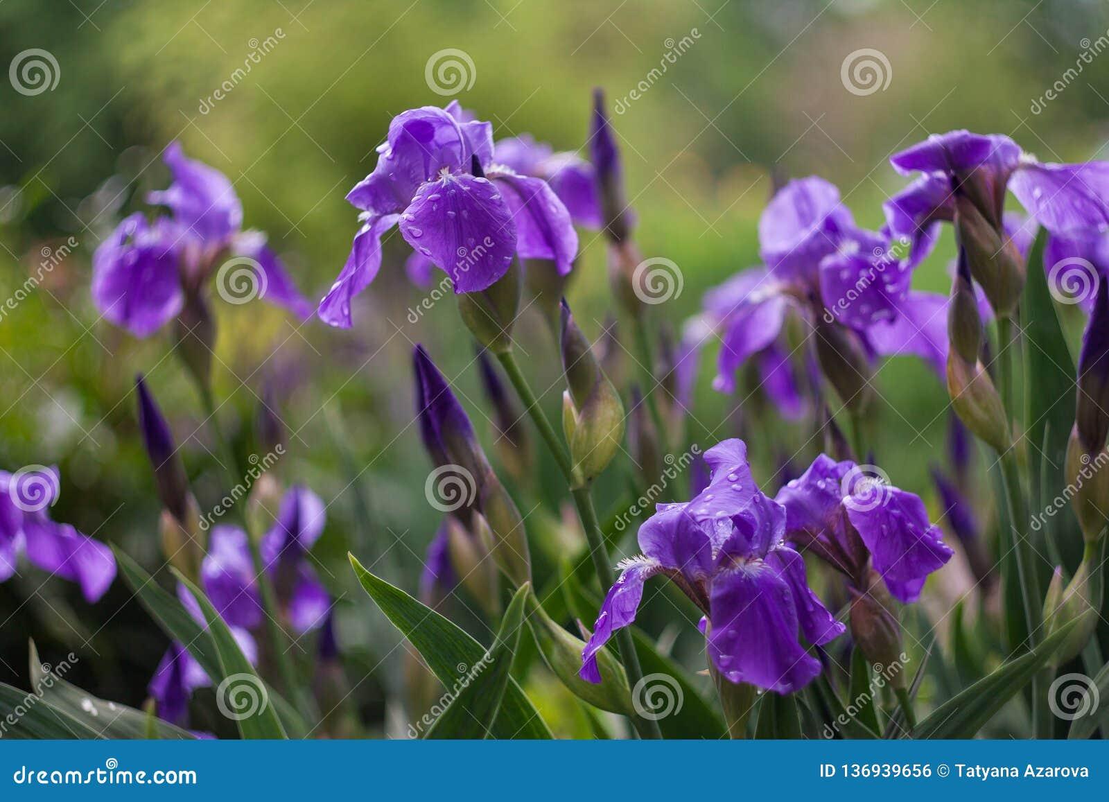 紫色虹膜在一个绿色庭院里在春天开花