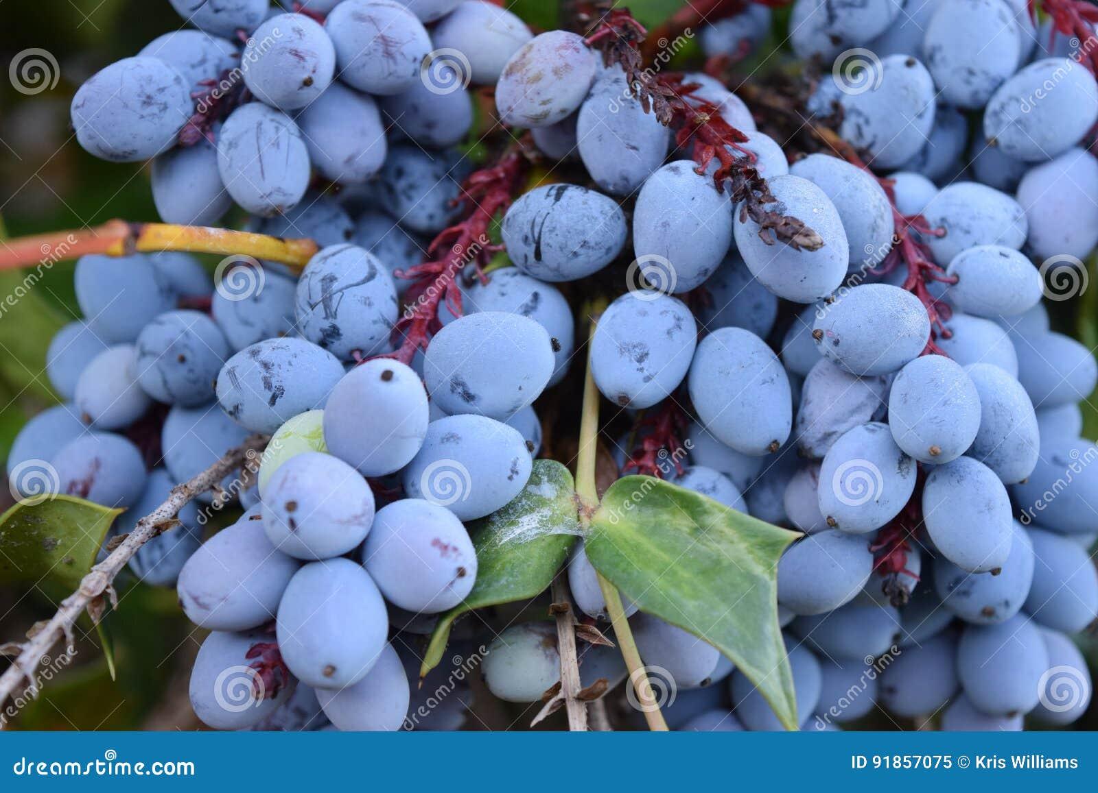 紫色霍莉莓果束特写镜头
