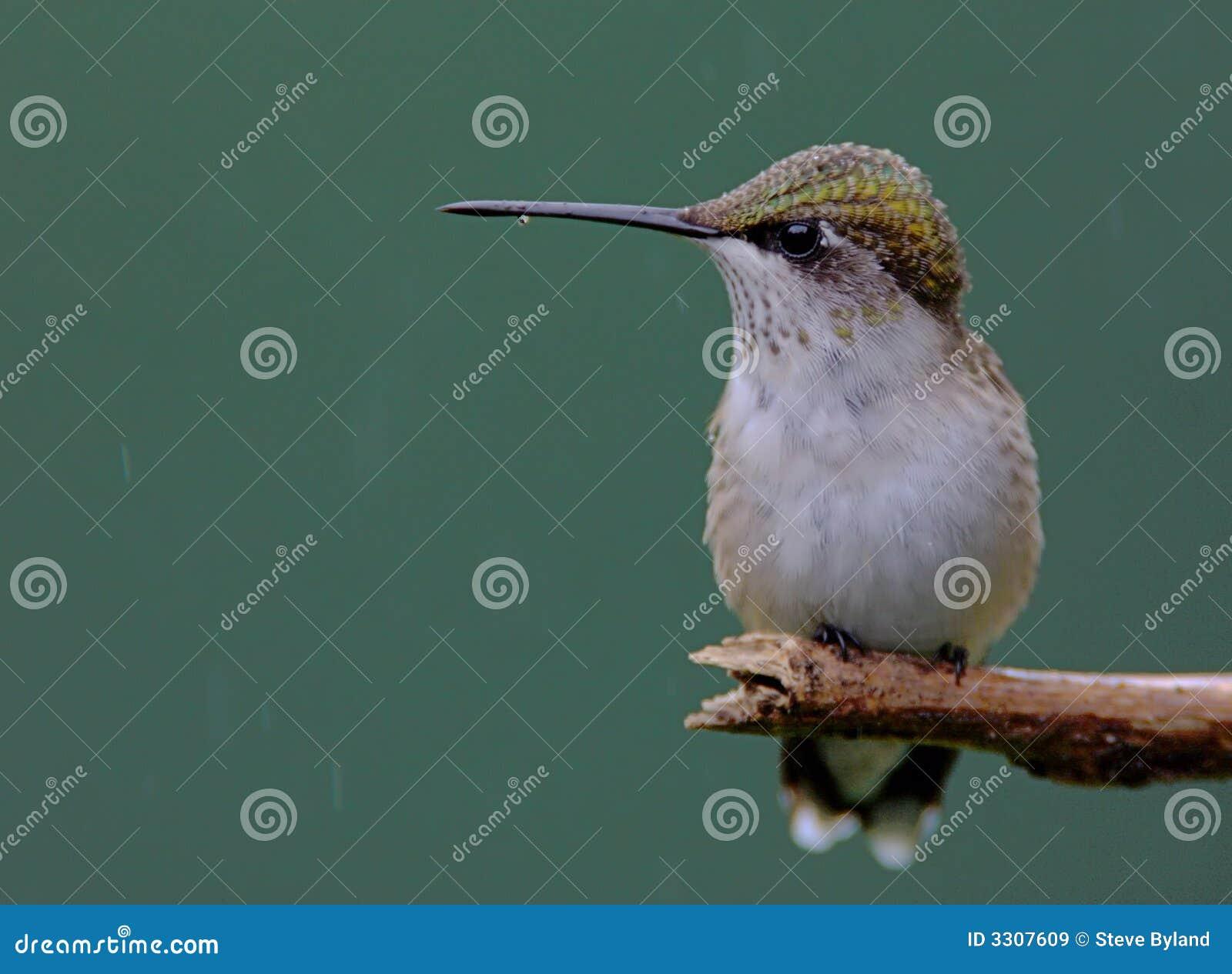 日蜂鸟少年男栖息多雨红宝石红喉刺莺.情趣用品店老板娘色的图片