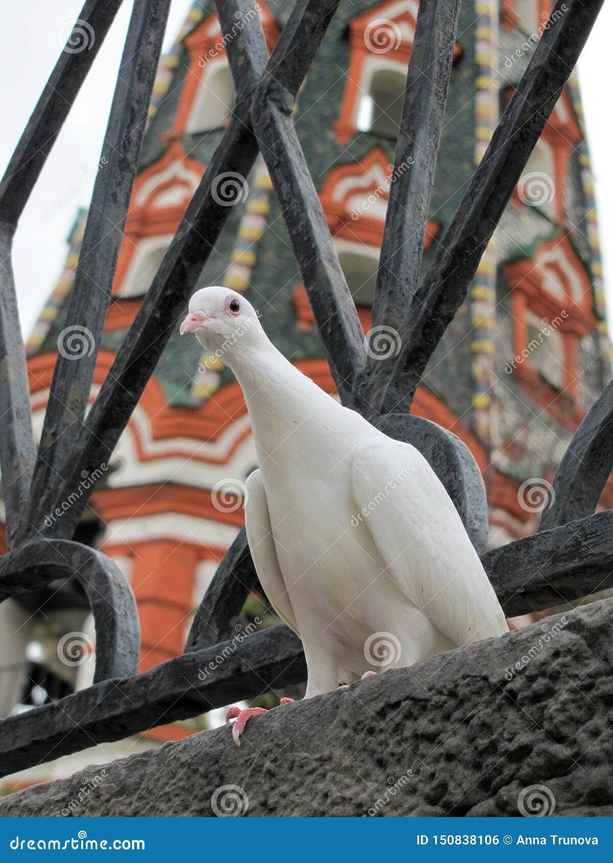 红场的好奇白色鸽子和圣蓬蒿大教堂在莫斯科