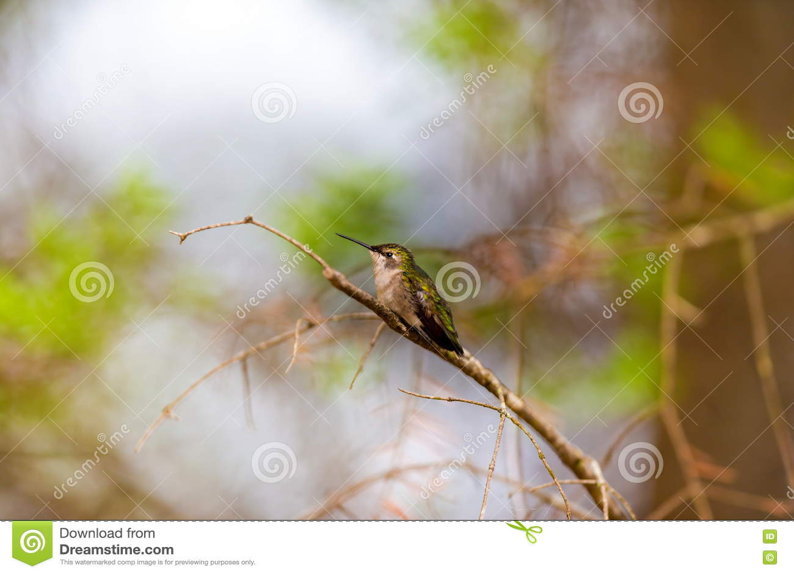 红宝石红喉刺莺的蜂鸟女性