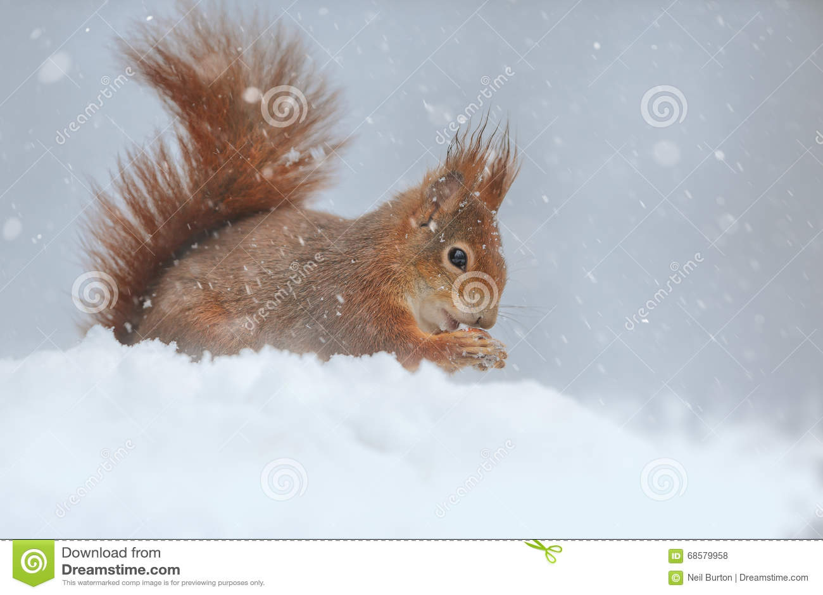 红松鼠冬天