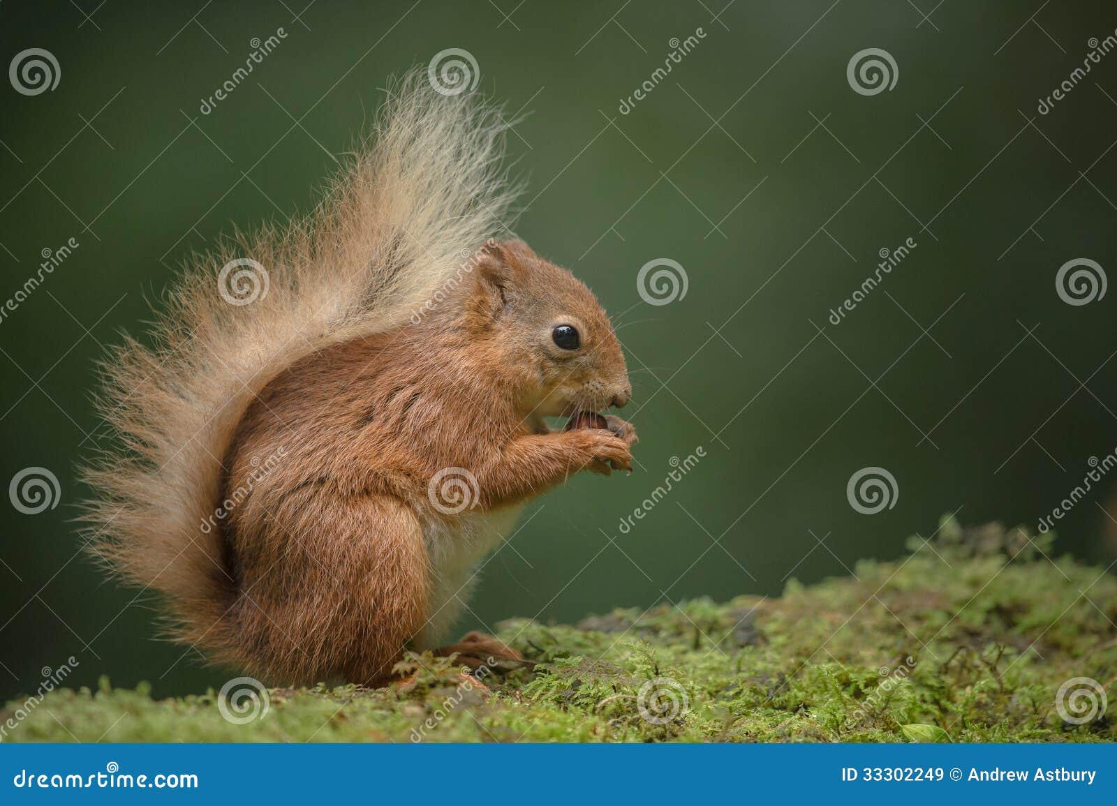 红松鼠吃。