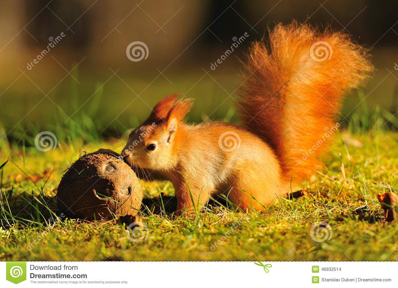 红松鼠用椰子