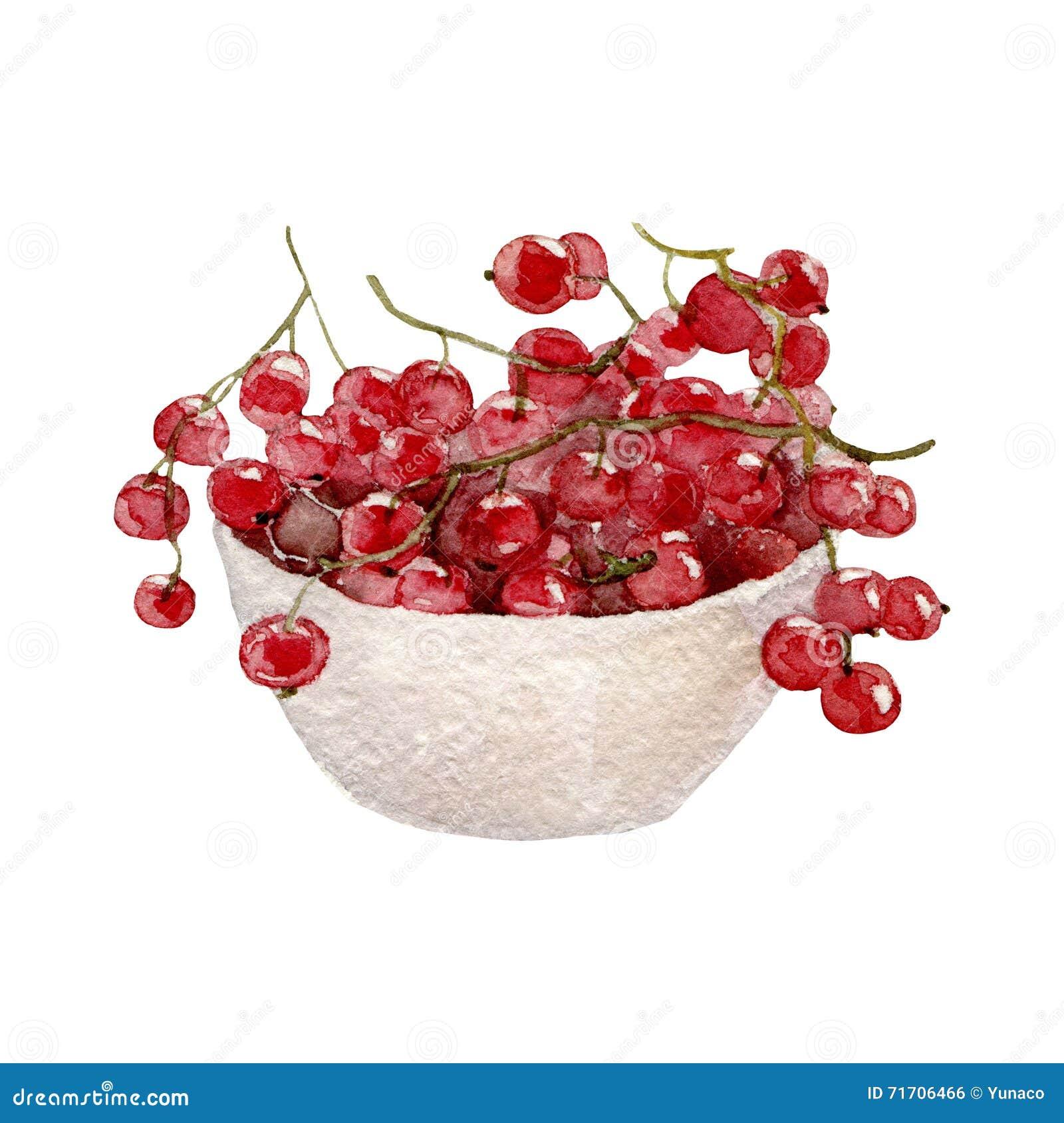 红浆果,在白色背景的水彩