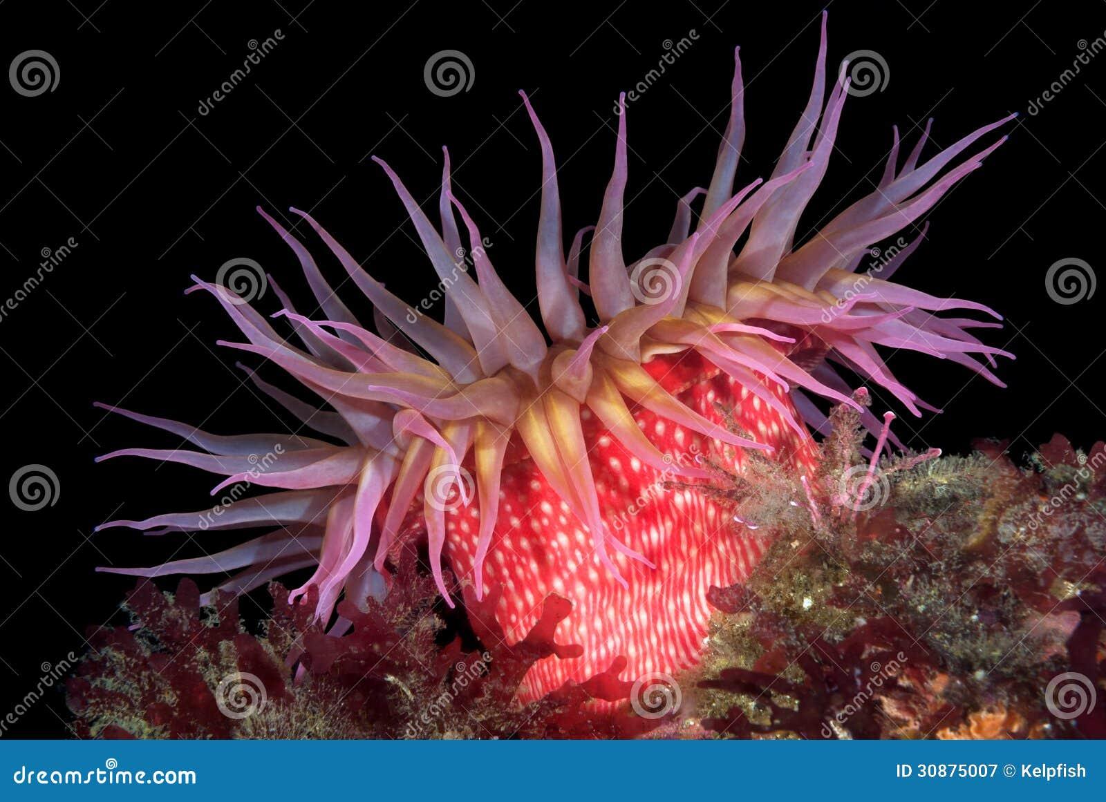 红海银莲花属