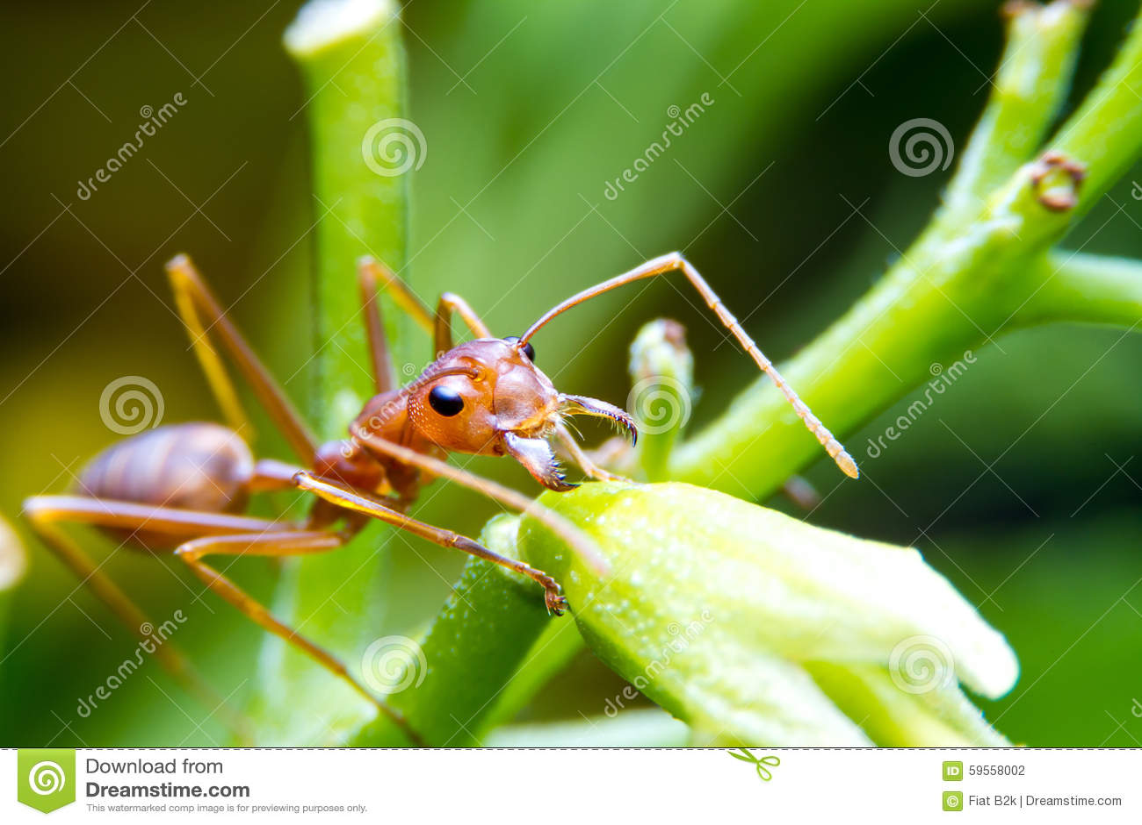 红火树的蚂蚁工作者