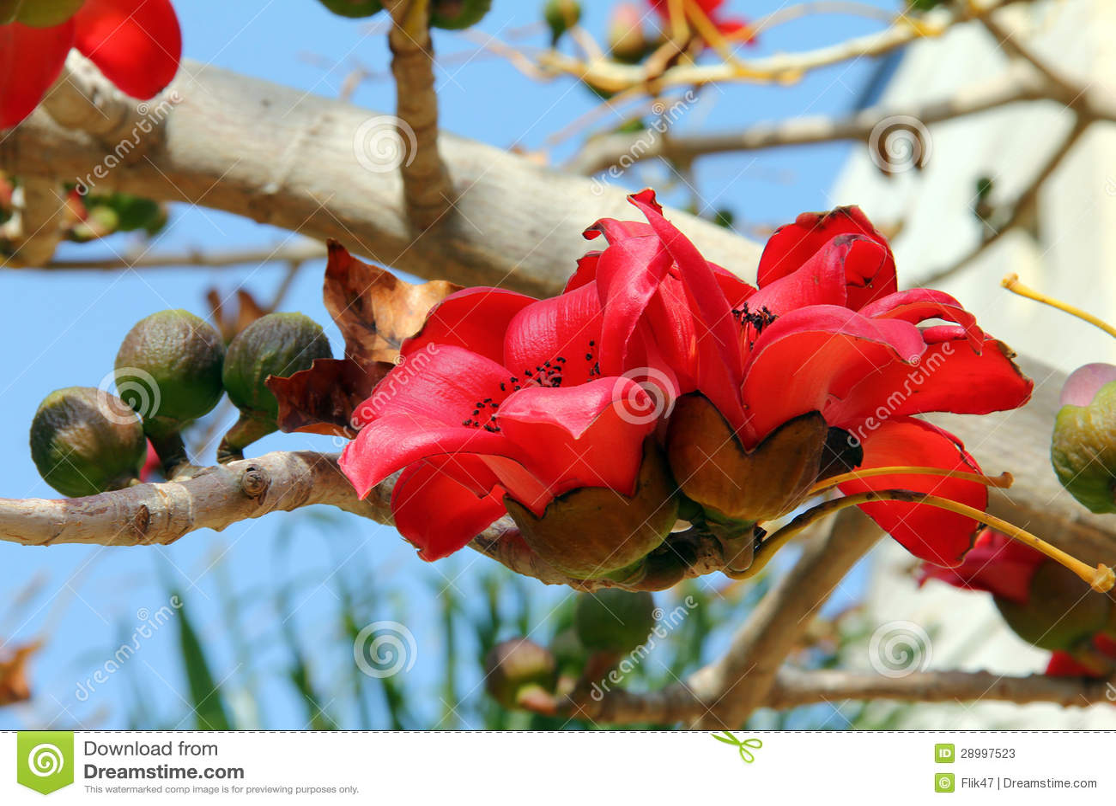 红色丝光木棉结构树(木棉树)的开花