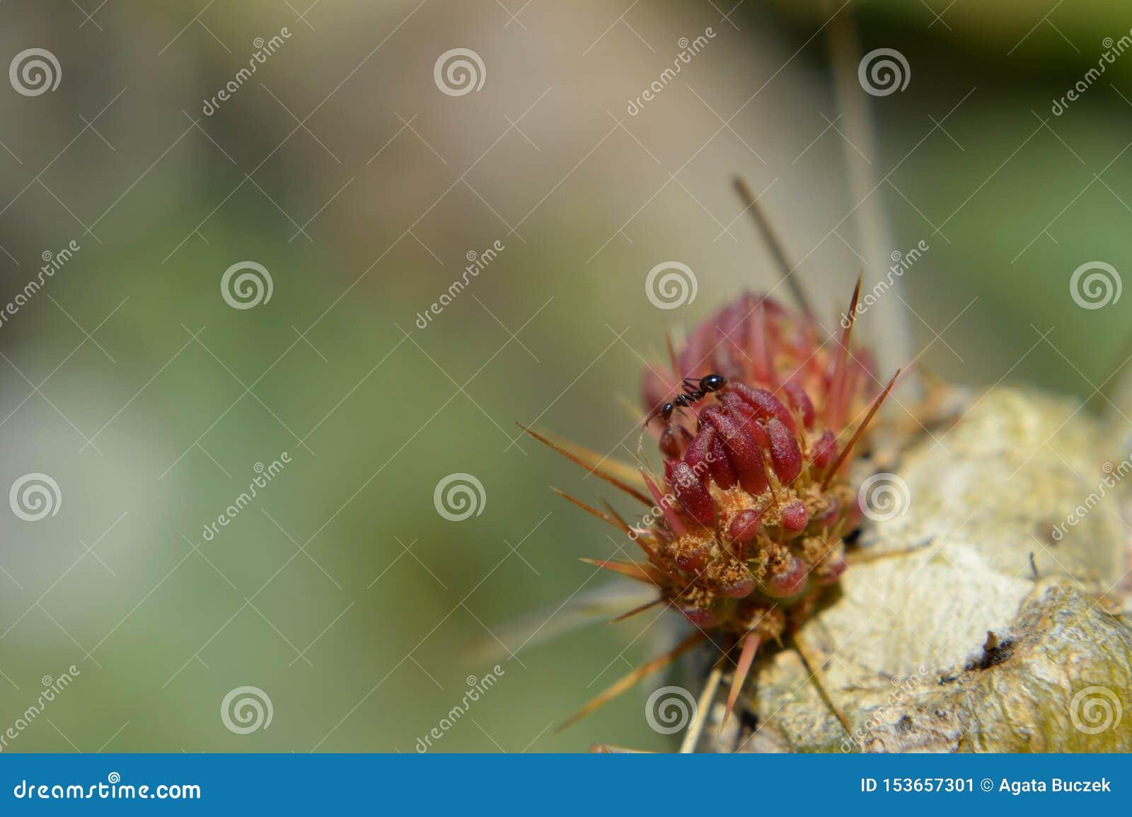 红色仙人掌特写镜头与蚂蚁的
