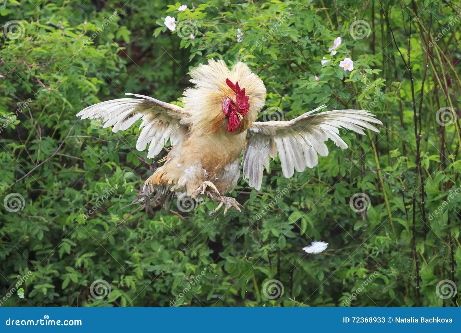 红色公鸡跳高并且涂了它的羽毛翼