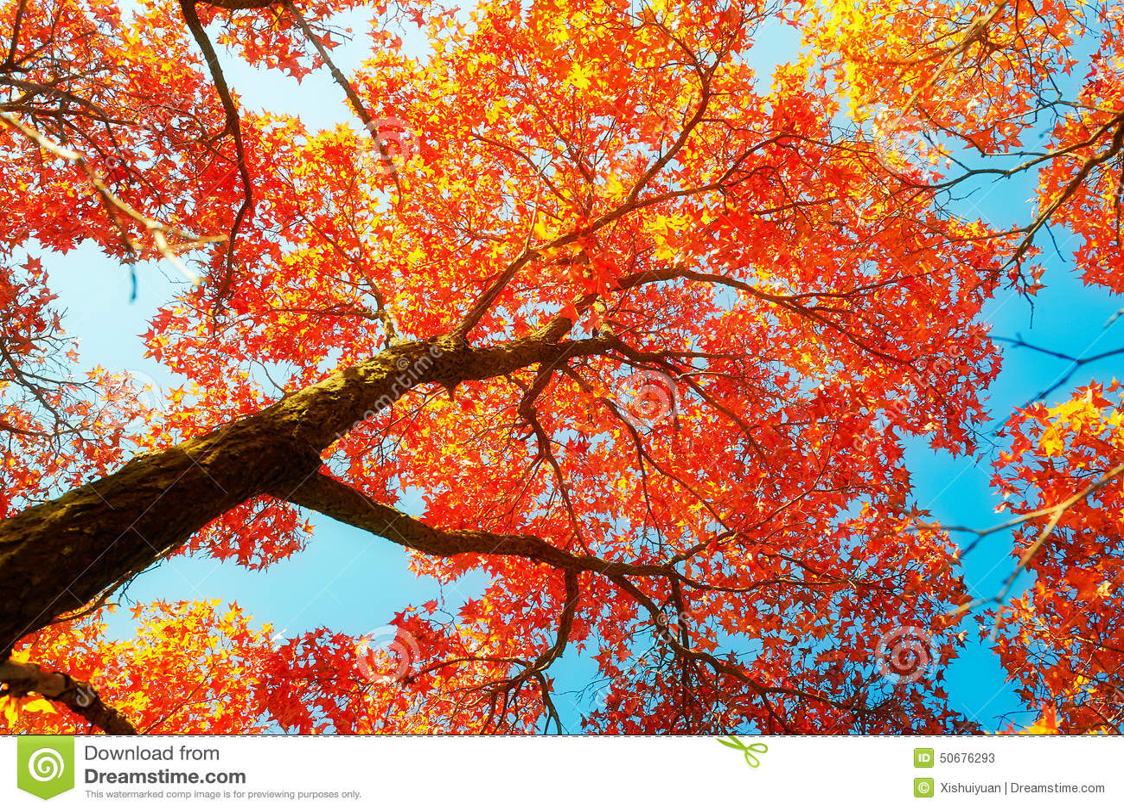 Download 红色单音槭树秋天和深蓝天空 库存图片. 图片 包括有 地点, 森林, 自动驾驶仪, 区域, 酸疼, 秋天 - 50676293