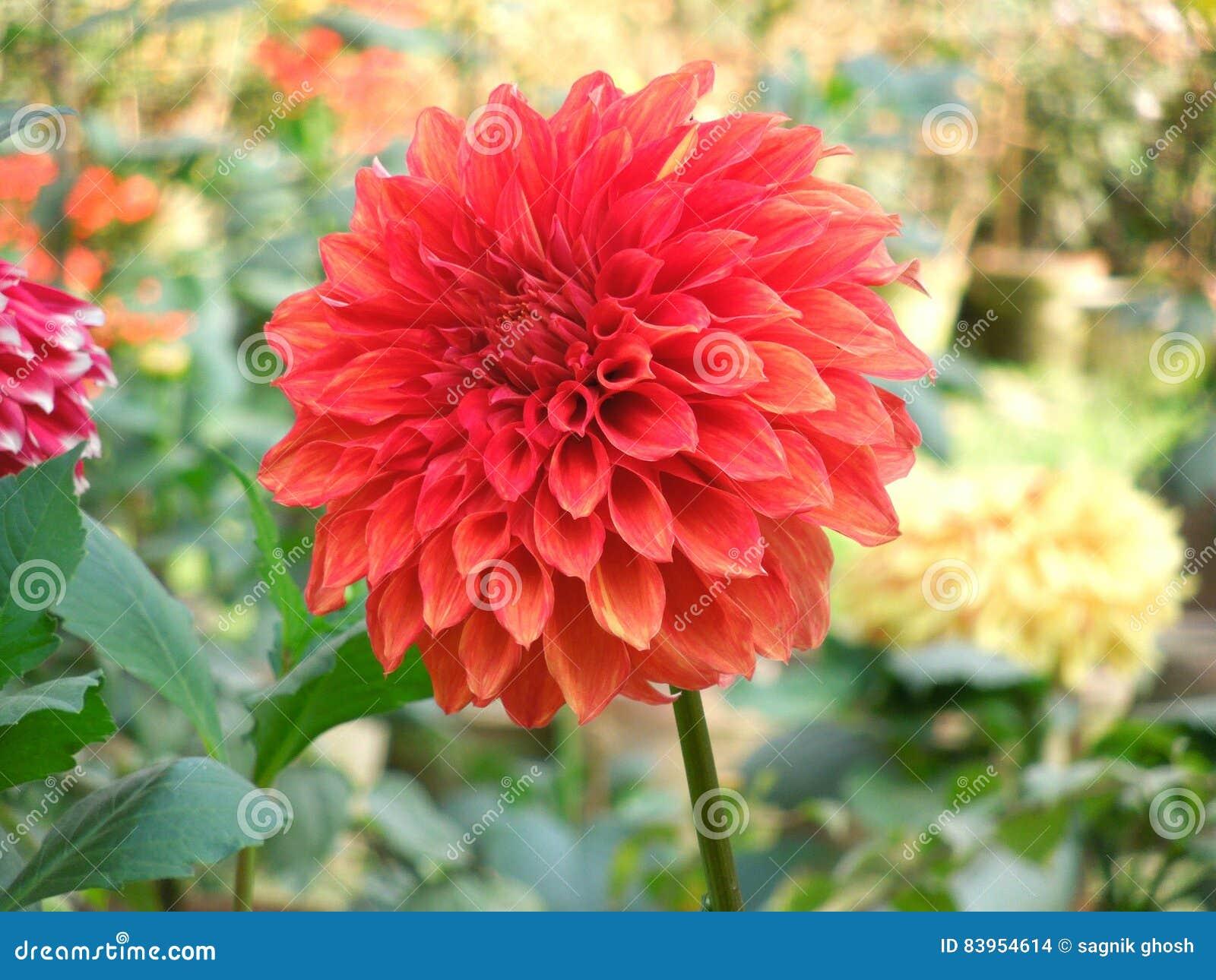 红色向日葵
