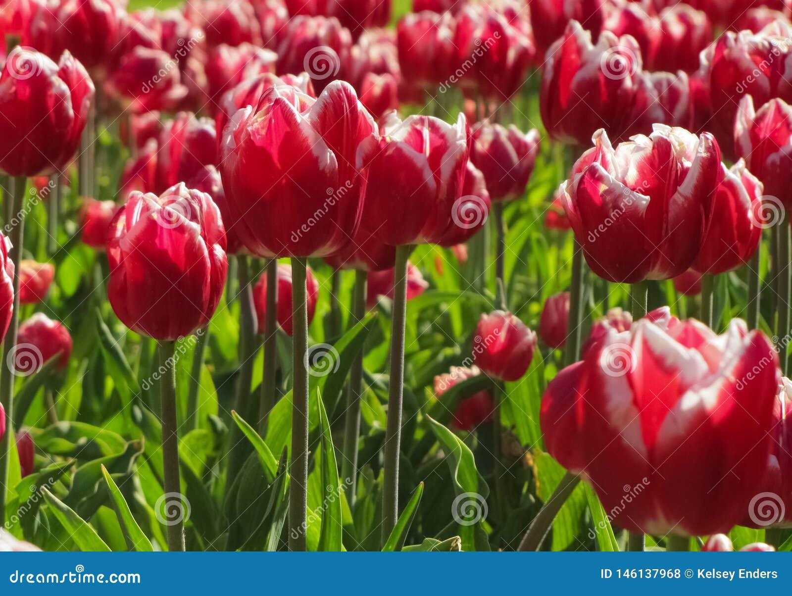 红色和白色郁金香群
