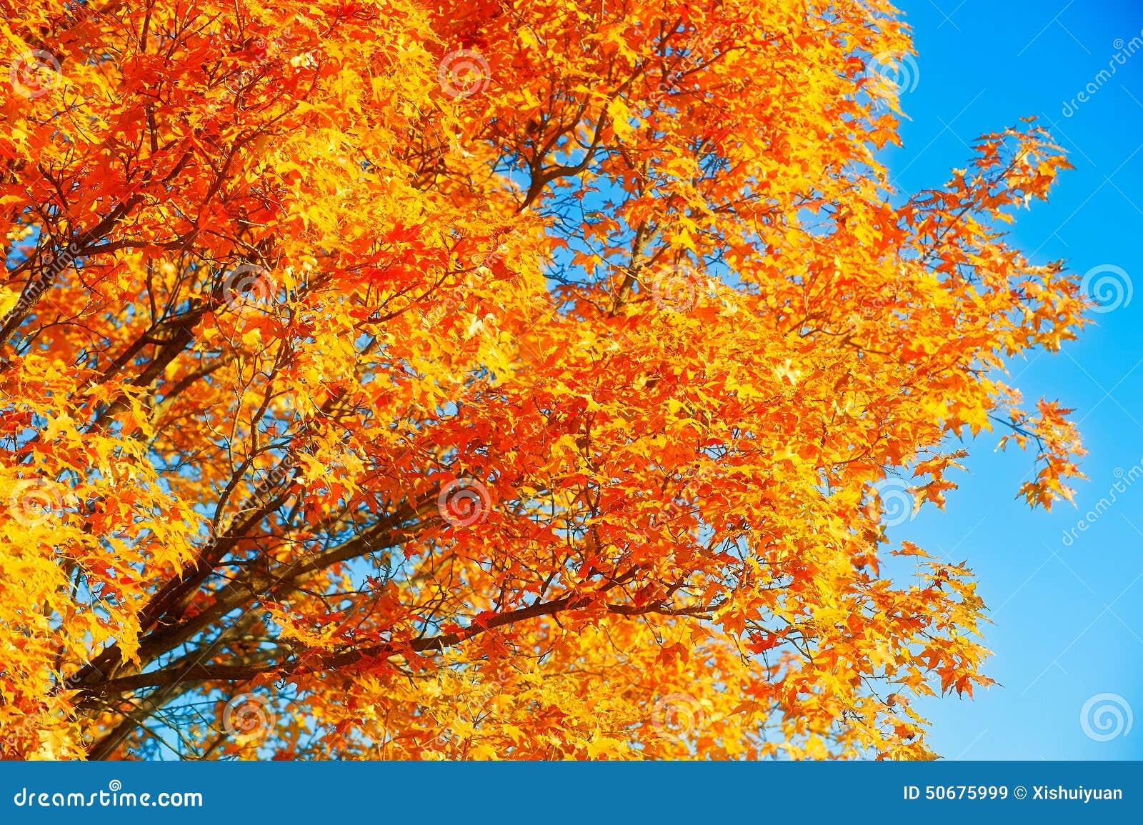 Download 红色和金黄枫树座右铭格言 库存图片. 图片 包括有 金黄, 自动驾驶仪, 座右铭, ,并且, 叶子, 汉语 - 50675999