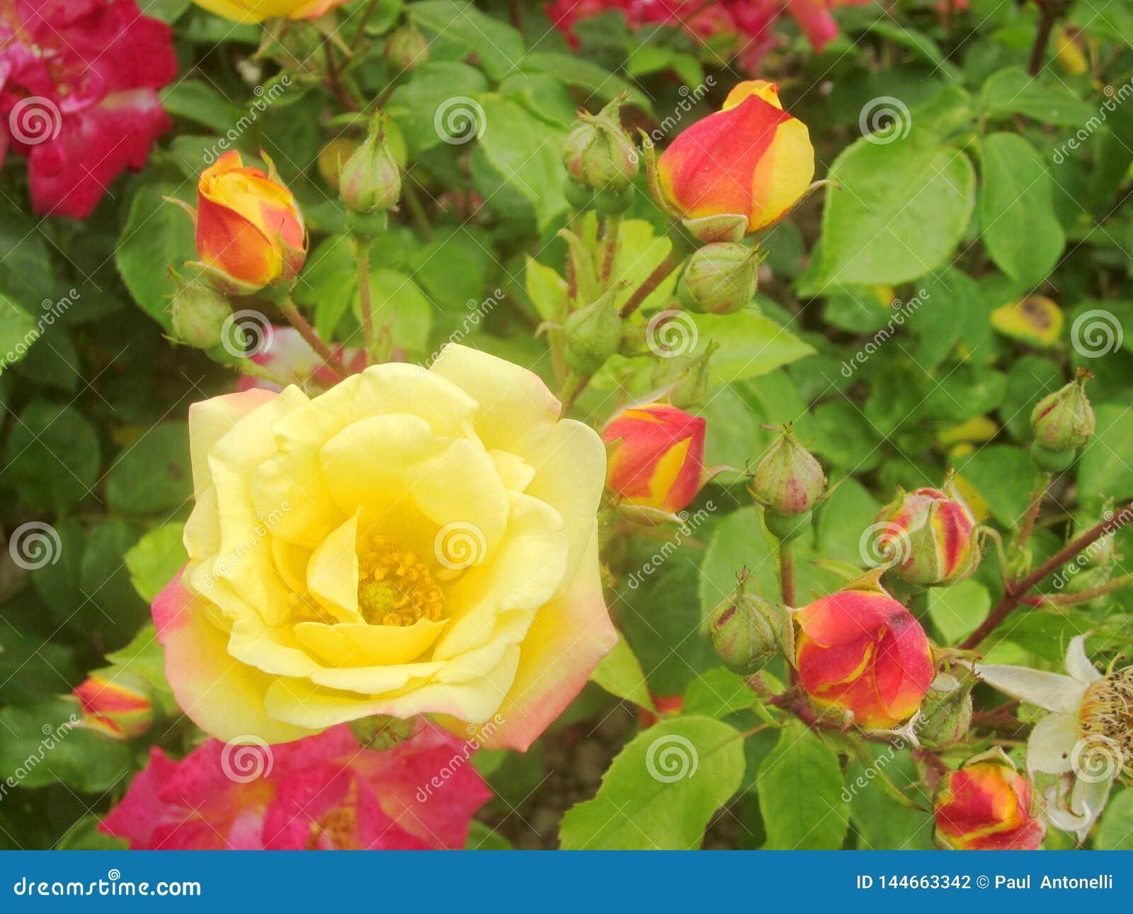 红色和黄色玫瑰4