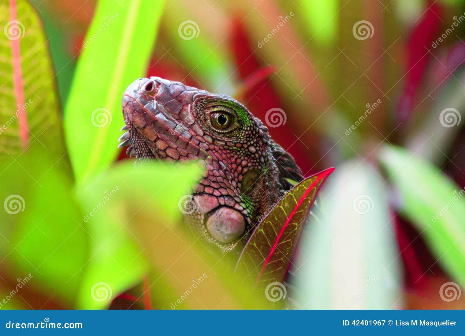 红色和绿色哥斯达黎加鬣鳞蜥