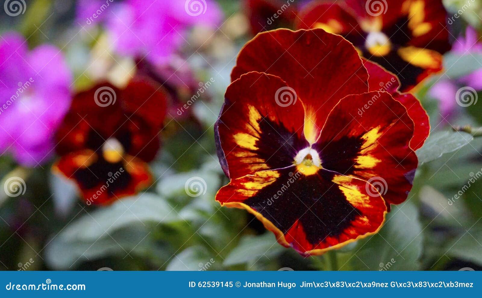 红色和黄色蝴蝶花绽放