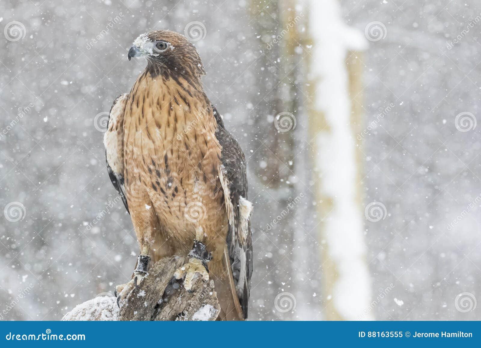 红色在雪的被盯梢的鹰