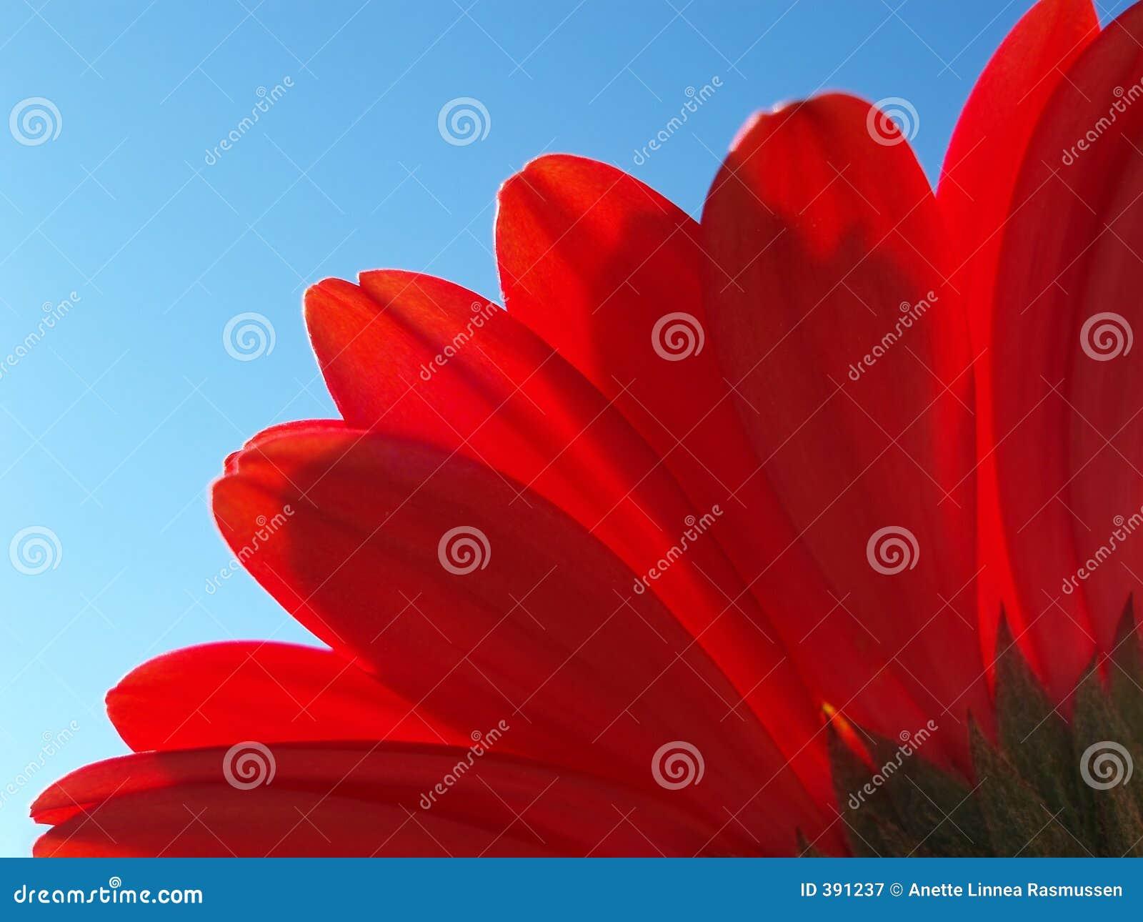 红色大丁草的瓣