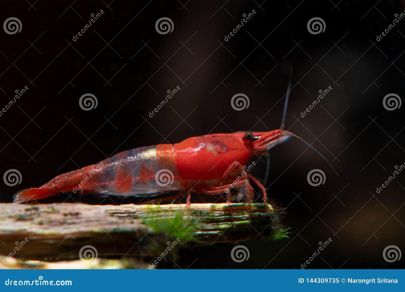 红色寿司使在木材的虾逗留变矮小在淡水水族馆坦克
