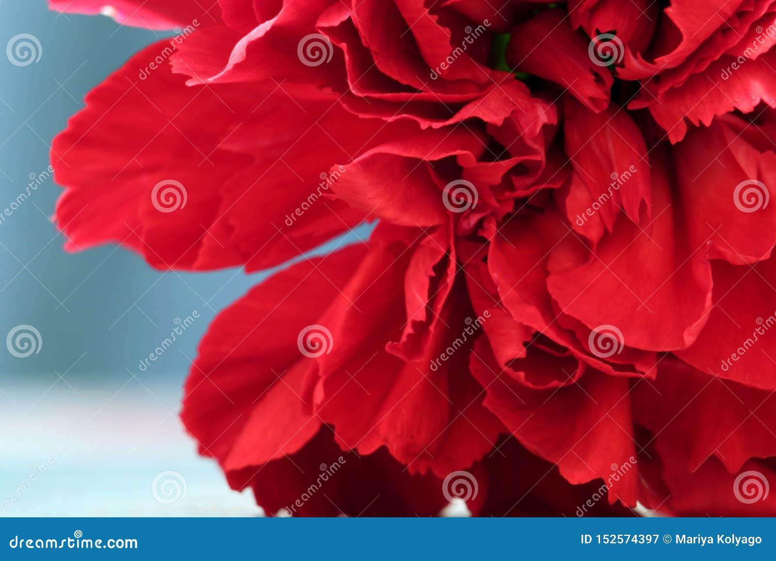 红色康乃馨花宏观照片作为背景