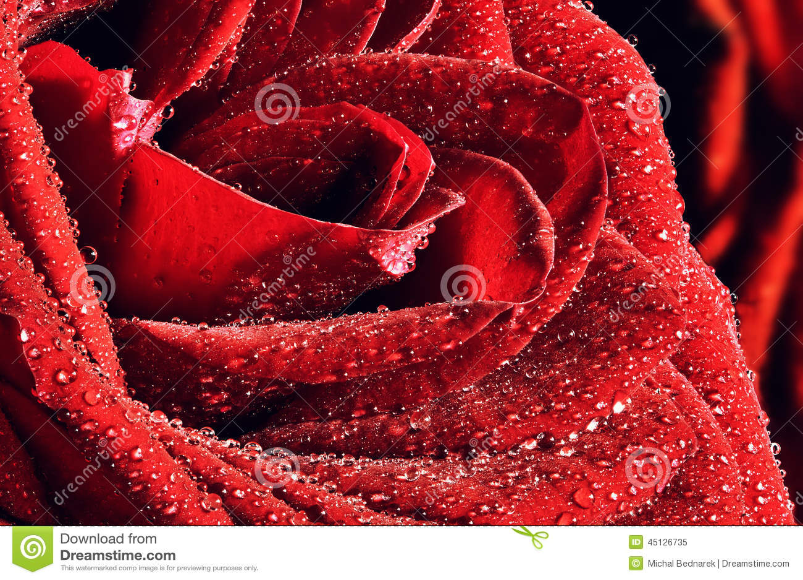 红色弄湿玫瑰色特写镜头 情人节,婚姻的背景